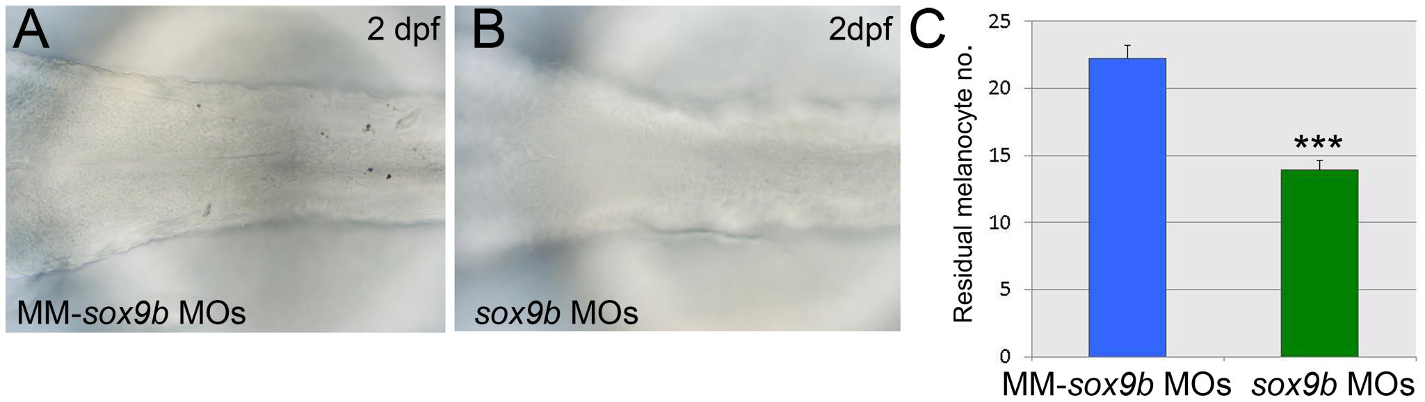 Sox9b is a component of the melanocyte GRN and shows properties consistent with Factor Z.