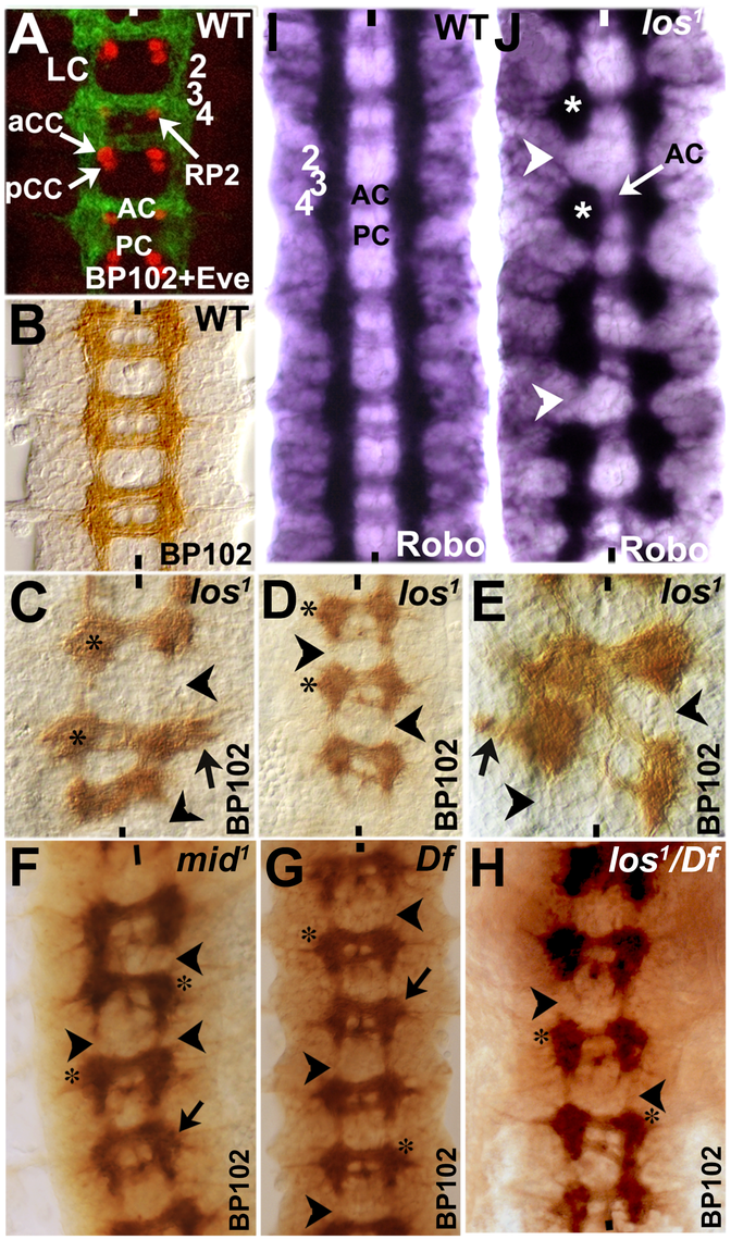 Longitudinal axon tracts stall just before the region of ectopic Wg and Gsb expression in <i>mid</i> mutant embryos.