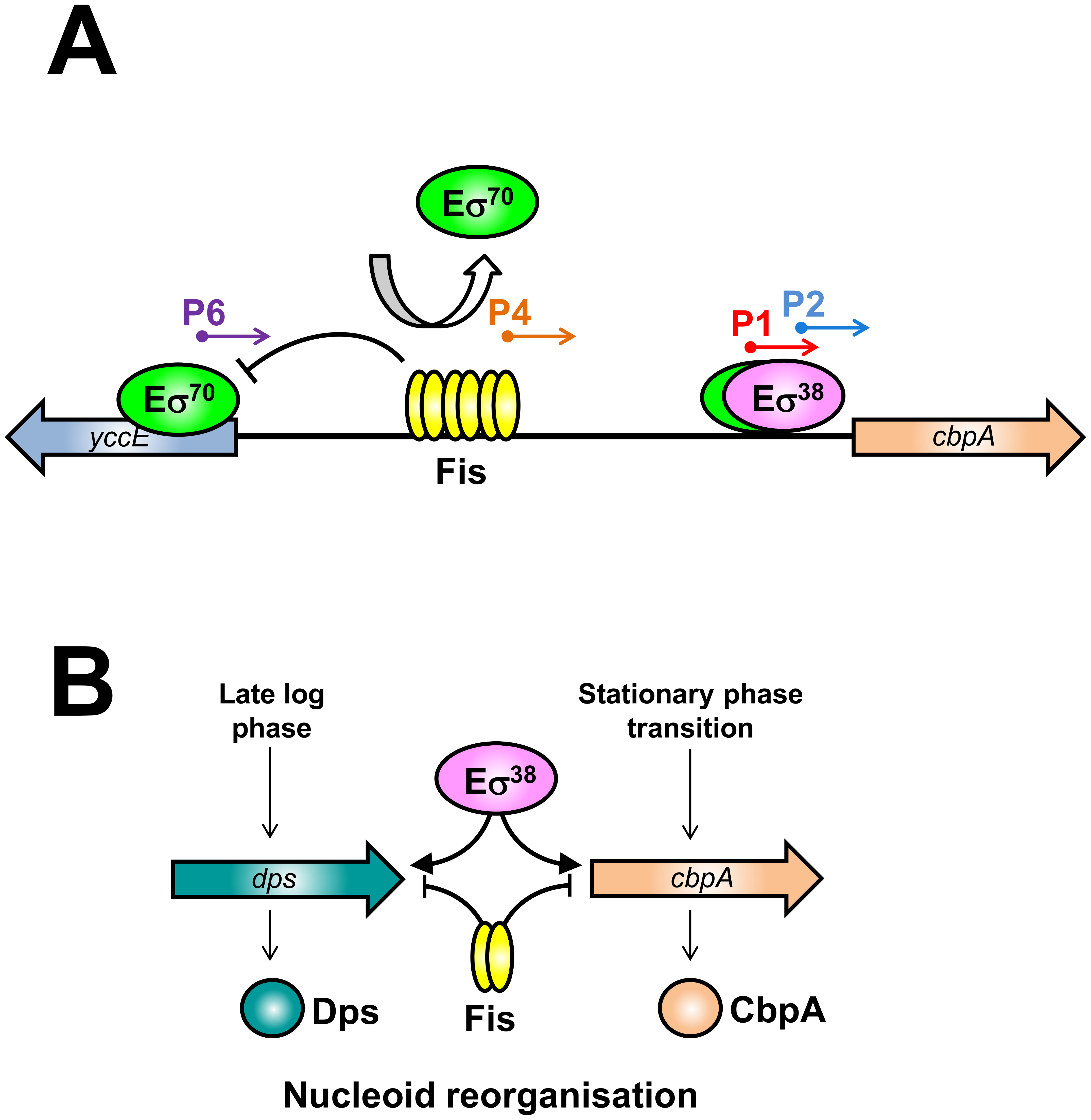 The nucleoid protein response to starvation in <i>E. coli</i>.