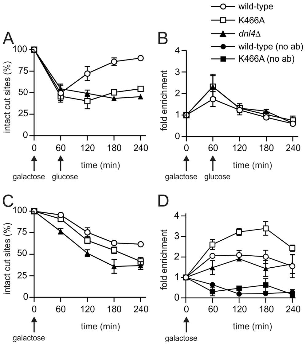 Cdc9 recruitment to a chromosomal DSB during the NHEJ repair phase.