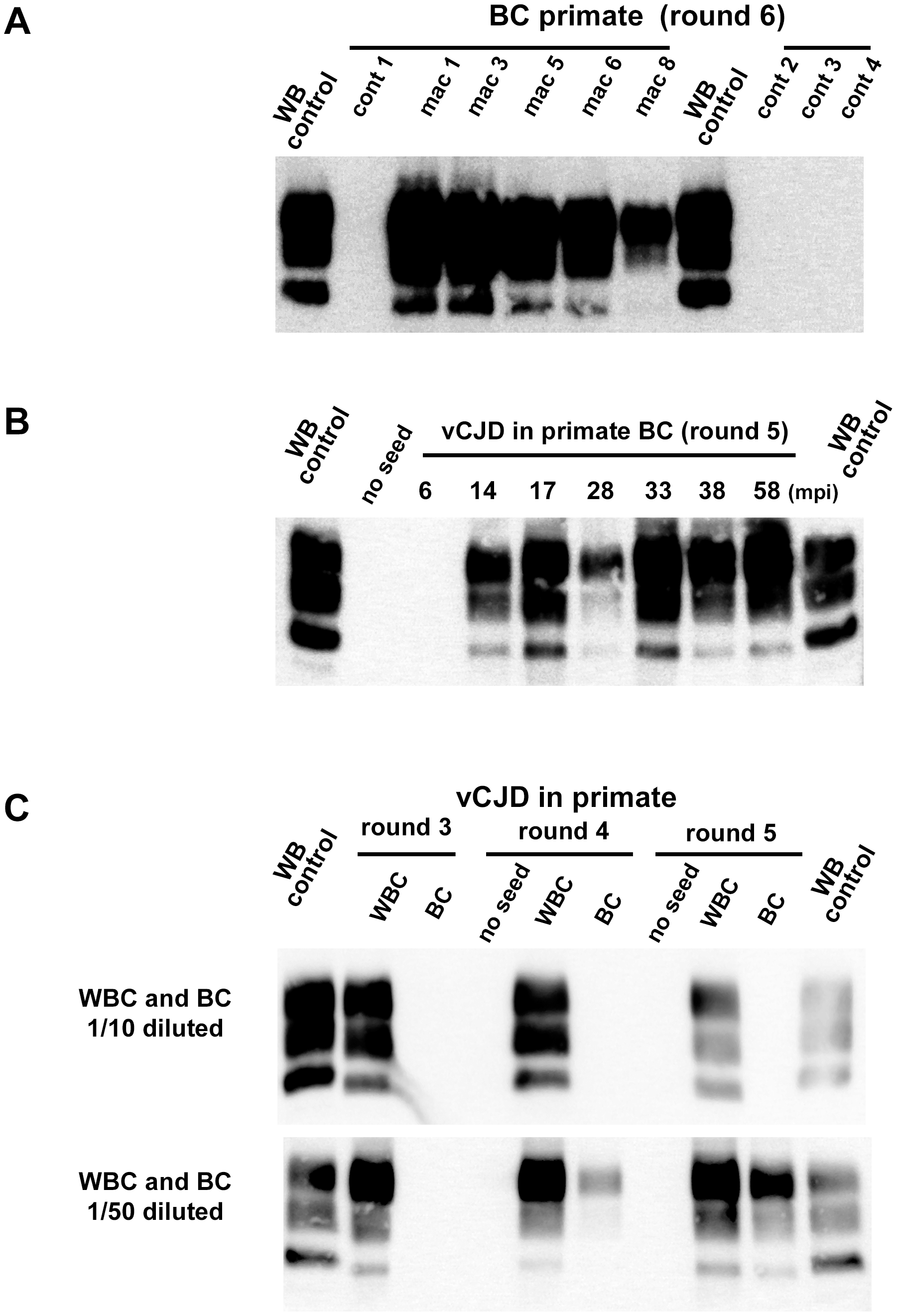 PrP<sup>res</sup> in PMCA reactions seeded with blood samples from vCJD infected and healthy primates.