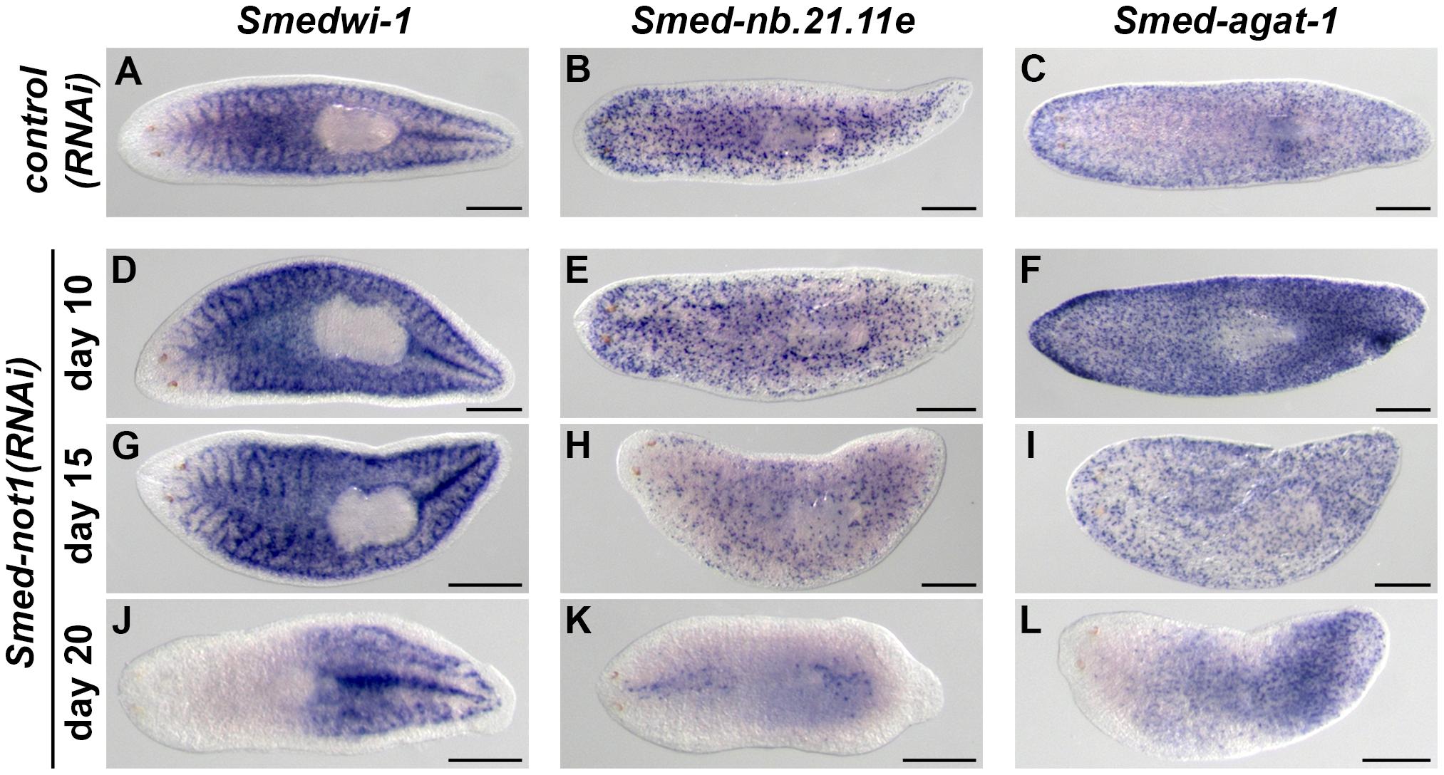 Dynamics of neoblasts and their progeny in <i>Smed-not1(RNAi)</i> animals.