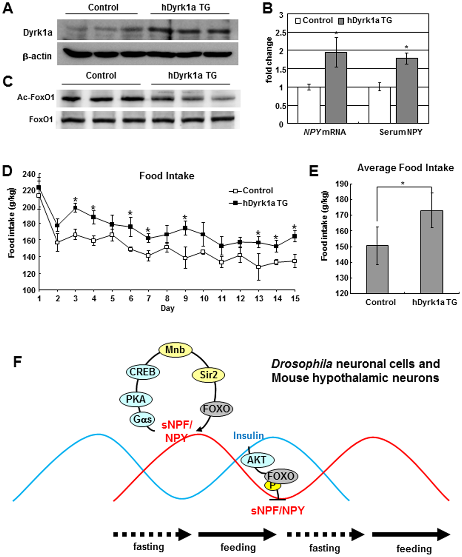 <i>hDyrk1a</i> transgenic mice regulate food intake through the FOXO-NPY pathway.
