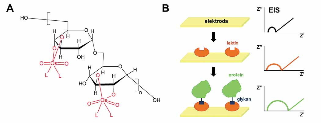 Elektrochemická analýza cukerné složky pro detekci glykoproteinů. A. Modifikace oligosacharidů a polysacharidů pomocí komplexů šestimocného osmia a dusíkatého ligandu, Os(VI)L. B. Konstrukce lektinového biosenzoru pro detekci glykoproteinů pomocí elektrochemické impedanční spektroskopie (EIS). Velikost půlkruhu je úměrná odporu přenosu elektronů (a naopak nepřímo úměrná propustnosti vrstvy), a tudíž zvýšení odporu signalizuje přítomnost cílové bílkoviny.