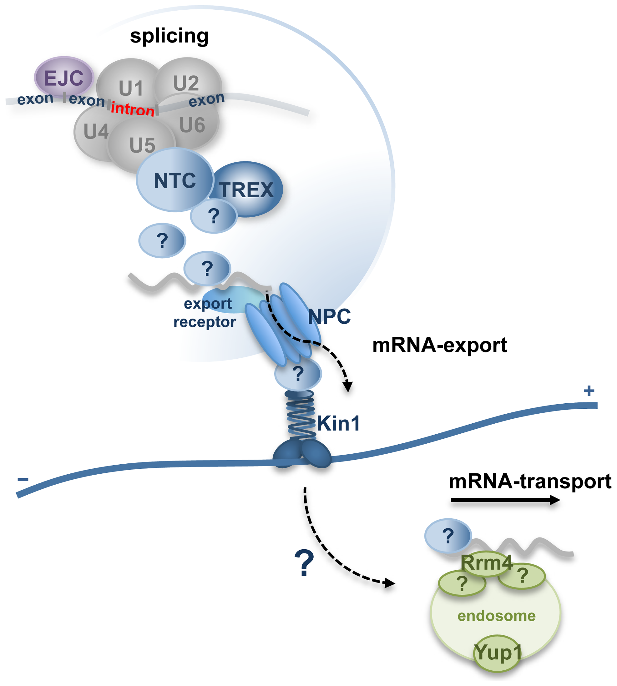 Hypothetical model for function of Num1 coordinating pre-mRNA splicing with nuclear pore complex-dependent export of mRNP-particles and microtubule-based mRNA-transport.