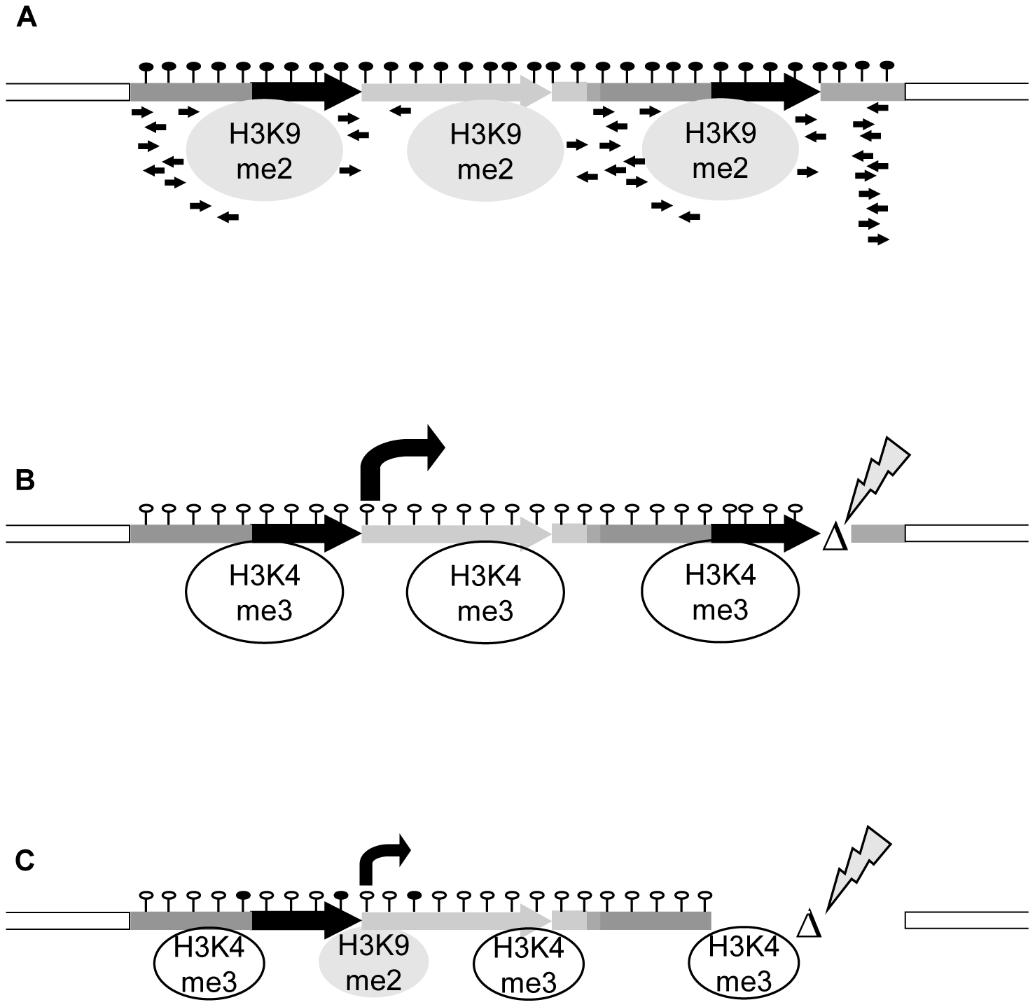 Model for transcriptional regulation of epialleles.