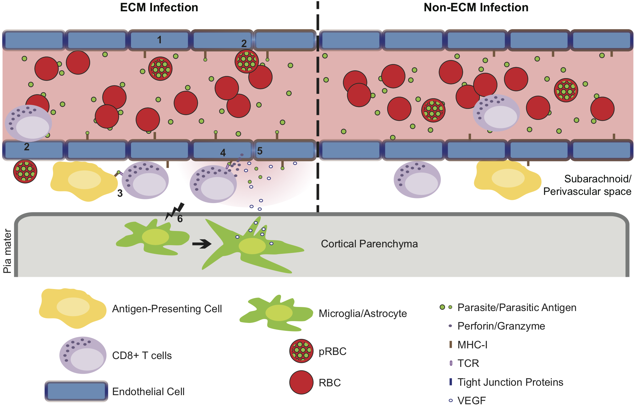 Hypothetical model for the CD8<sup>+</sup> T cell-dependent development of ECM.