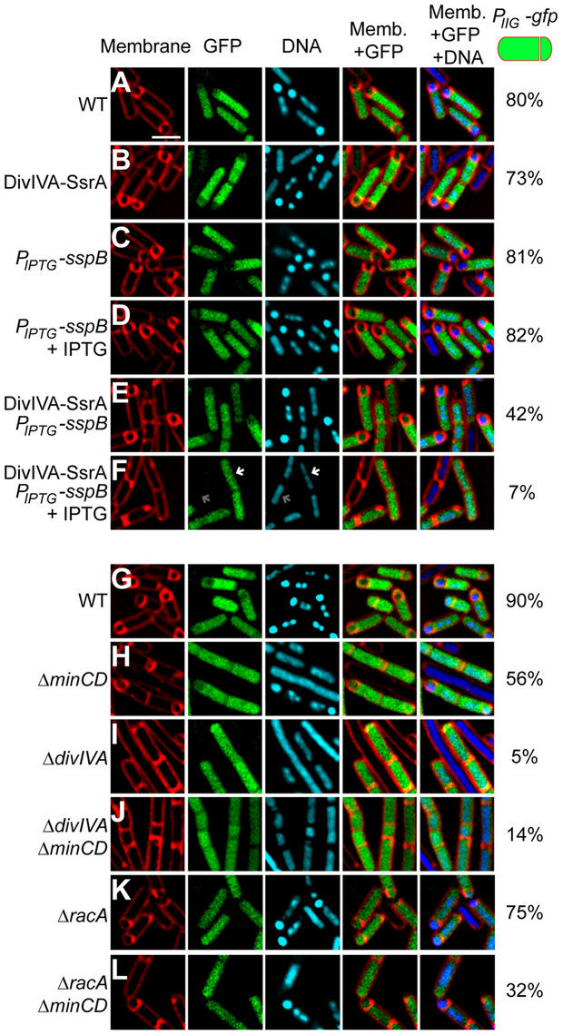 DivIVA is required for asymmetric division during sporulation.