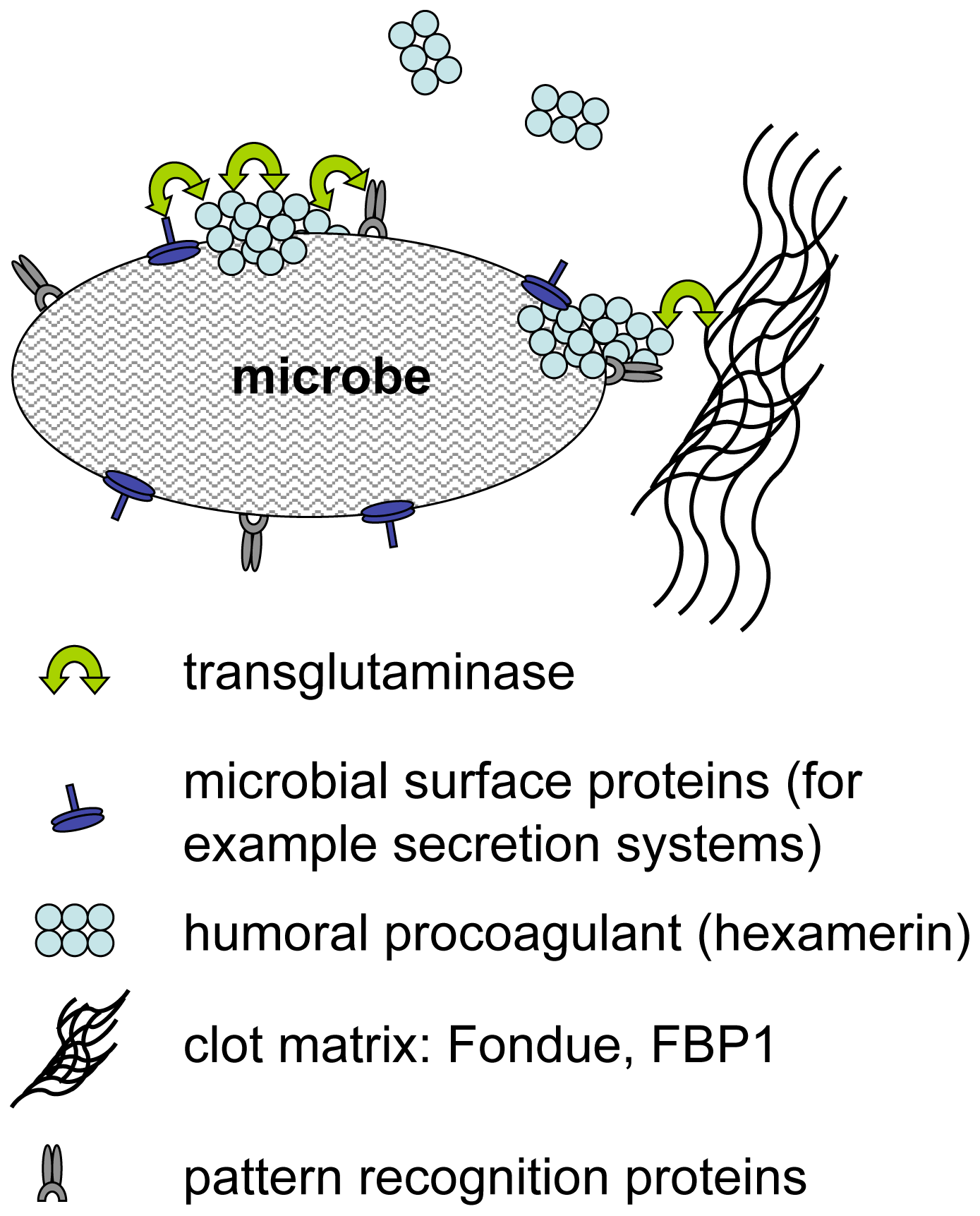 Hypothetical mechanisms for transglutaminase-mediated sequestration of microbes by the clot matrix.