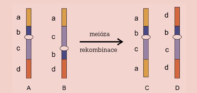 Inverze. Chromozom normální (A), invertovaný (B) a rekombinovaný (C, D).