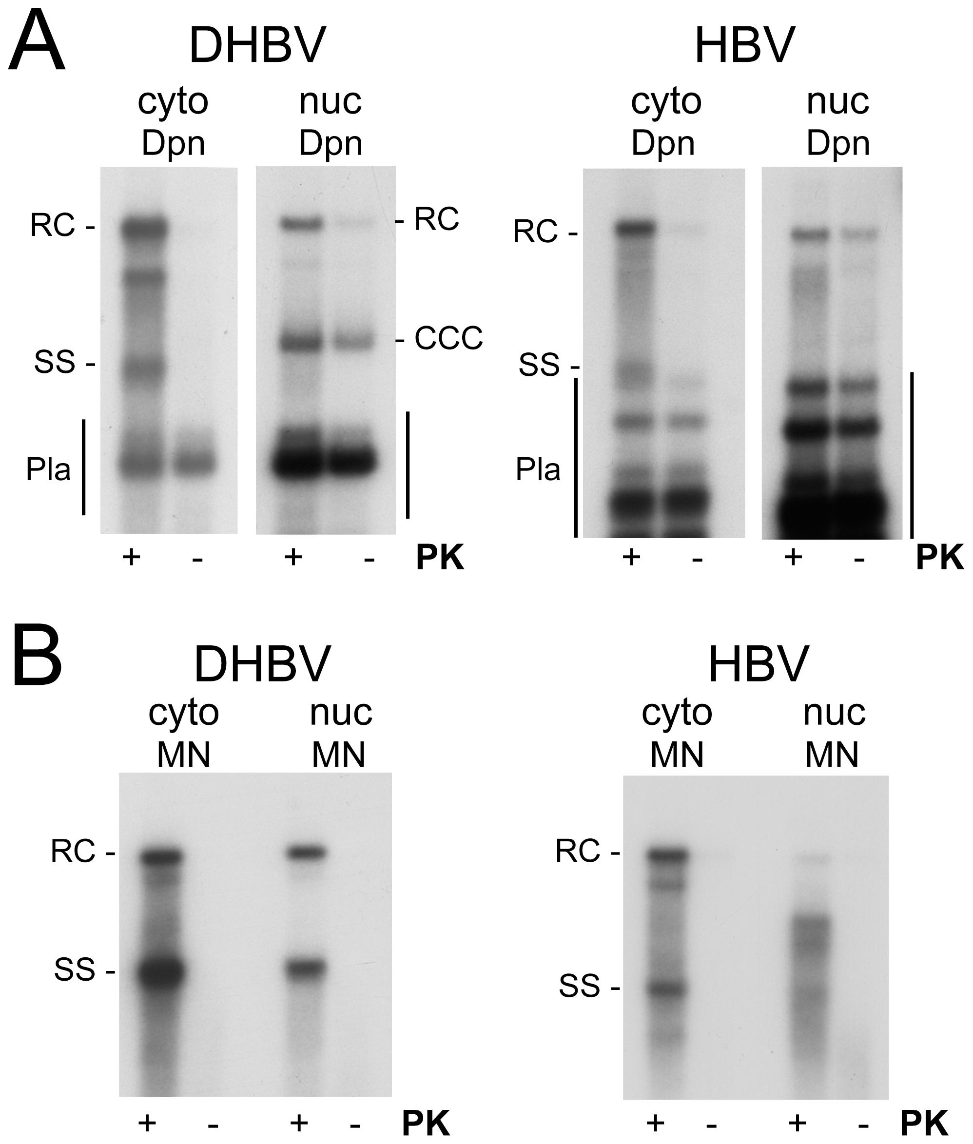 Polymerase linkage status of cytoplasmic versus nuclear viral DNAs.