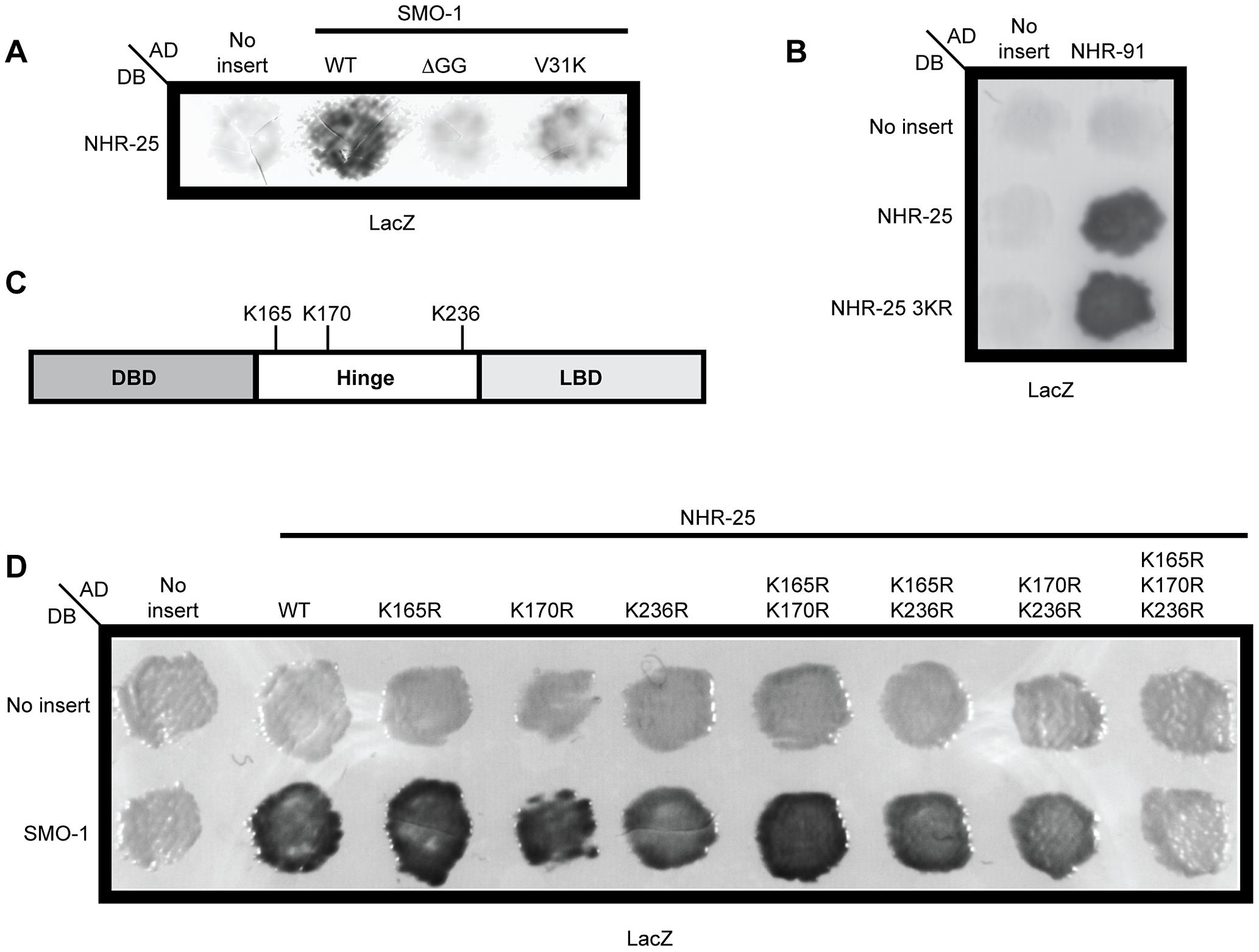 Three lysines in NHR-25 are necessary for the interaction with SMO-1.