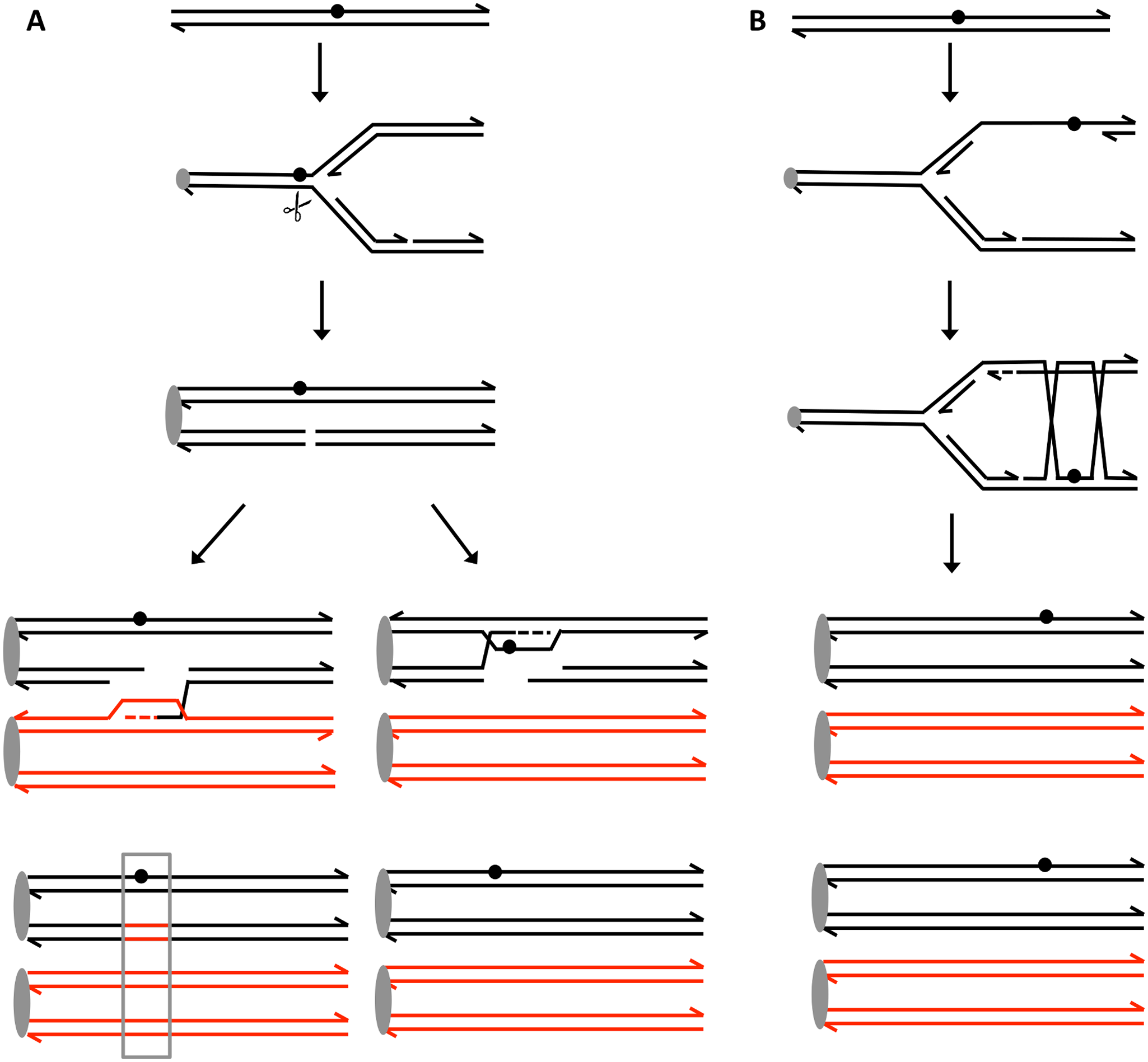 Recombination events induced by persistent UV damage in NER-deficient yeast strains.