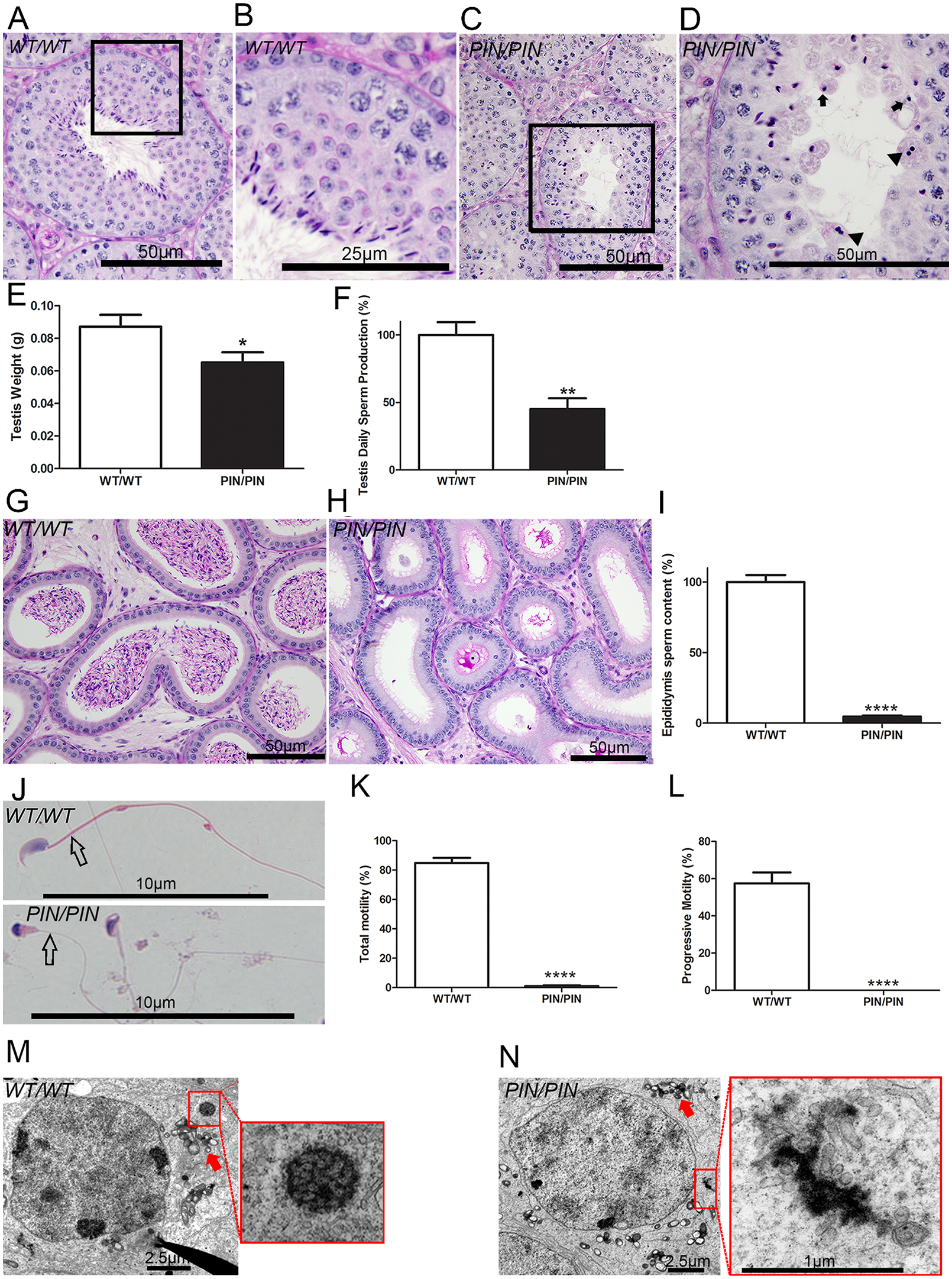 HENMT1 is required for mouse spermatogenesis.