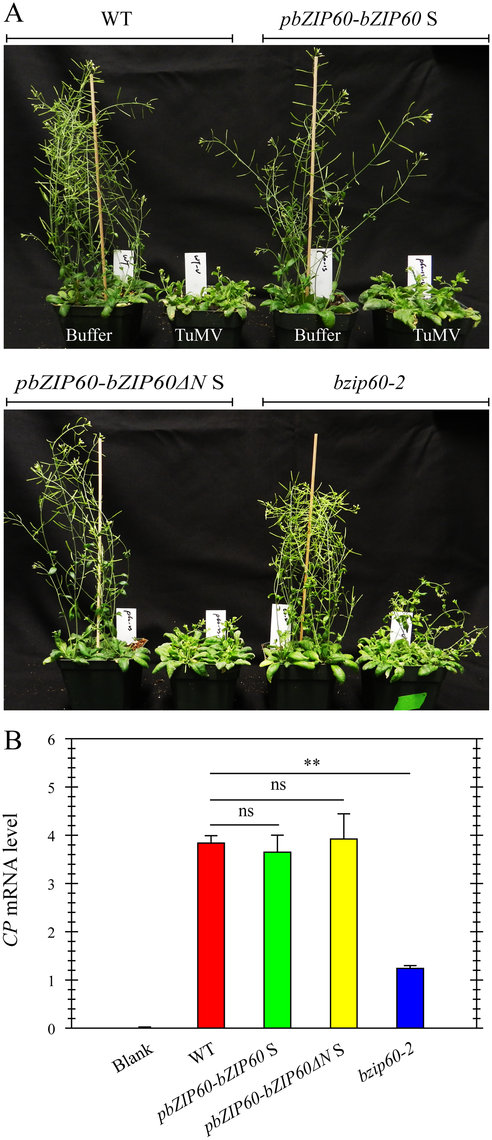 Either bZIP60 S or bZIP60ΔN S can rescue the virus suppression phenotype of the <i>bzip60-2</i> mutant.
