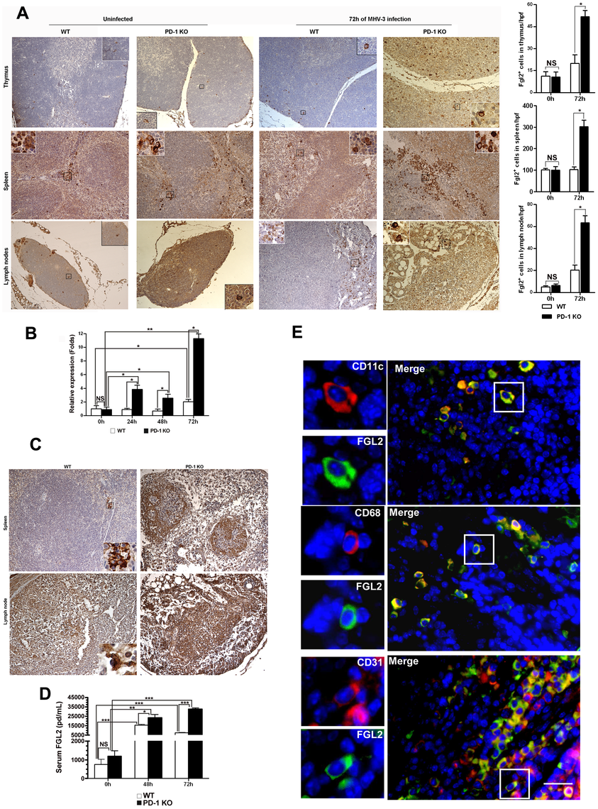 Enhanced FGL2 expression in the thymus, spleen, lymph nodes and serum of PD-1-deficient mice after MHV-3 infection.