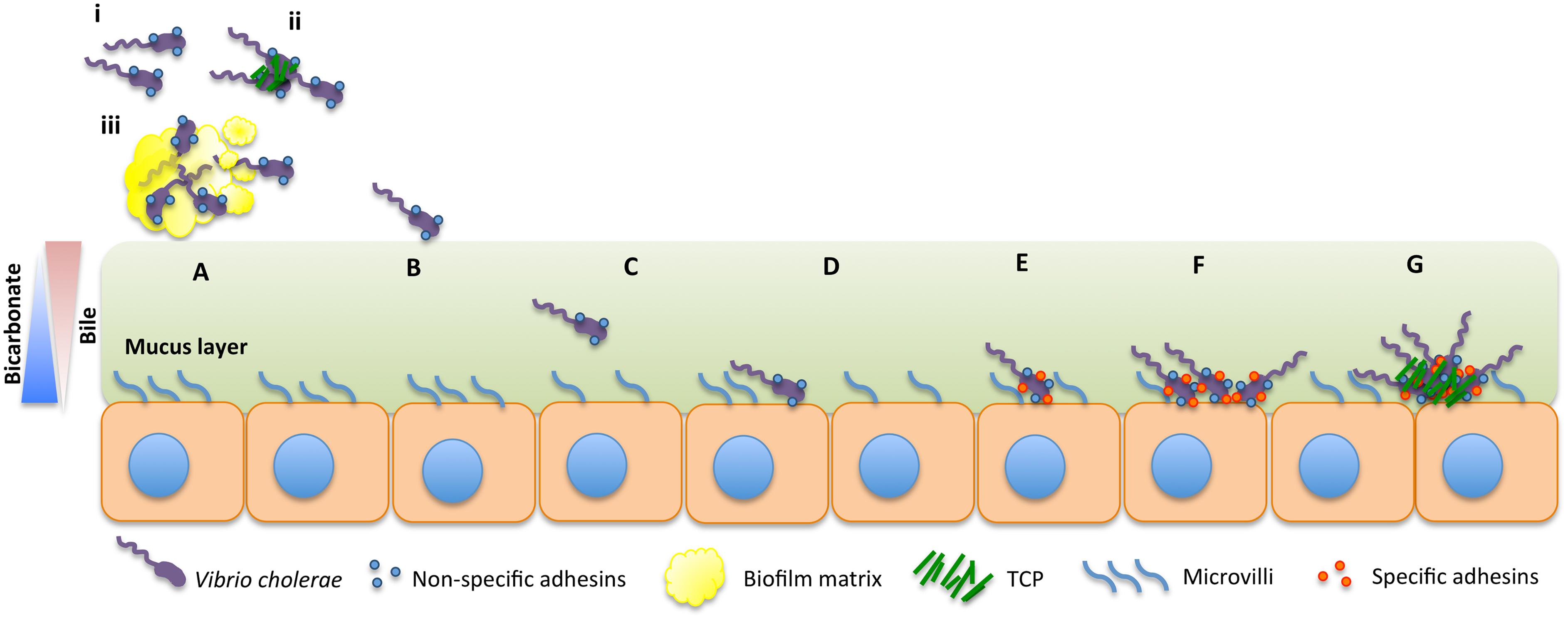 Model for intestinal colonization dynamics of <i>V</i>. <i>cholerae</i>.