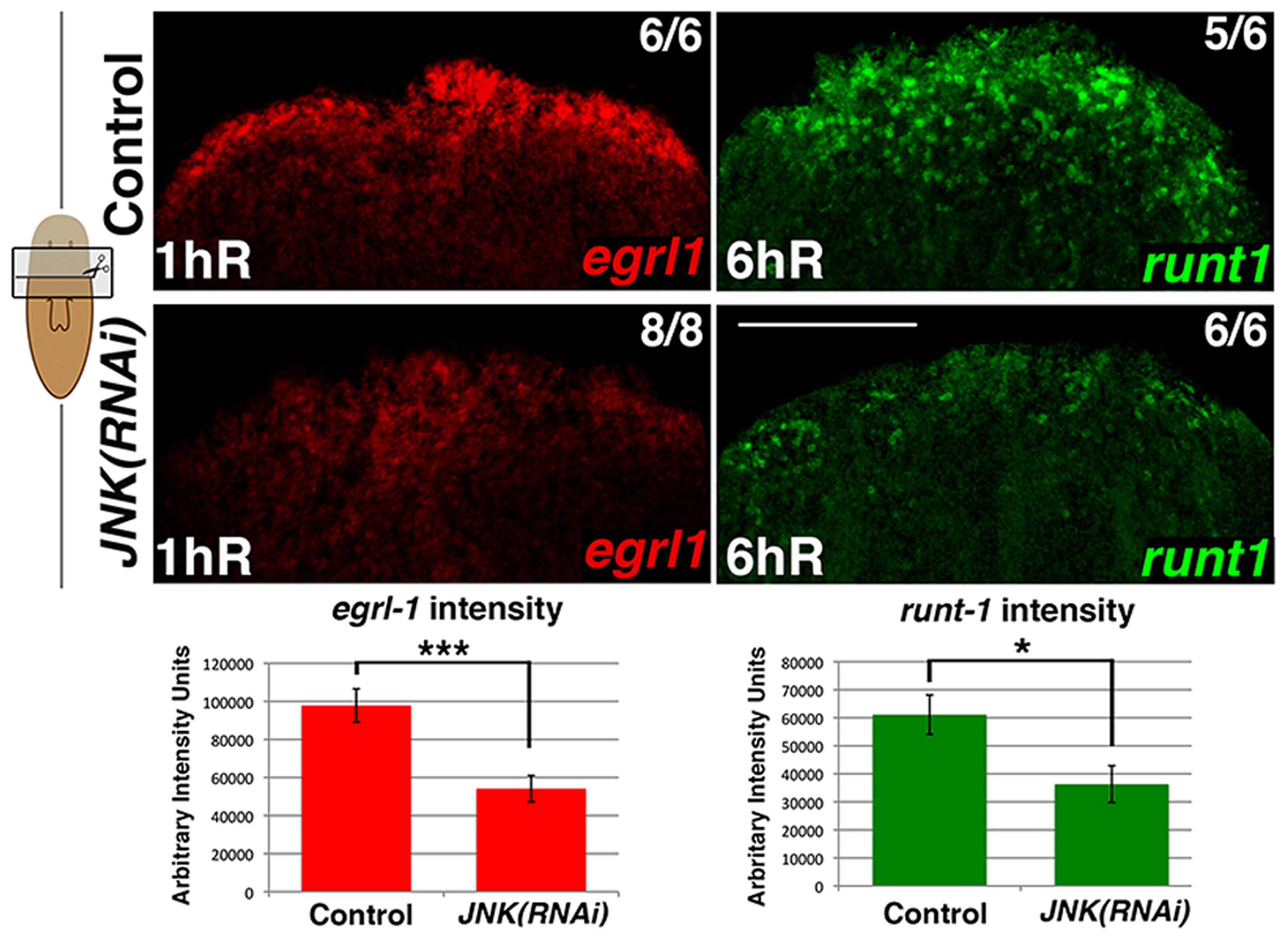 JNK modulates early wound-induced gene expression.