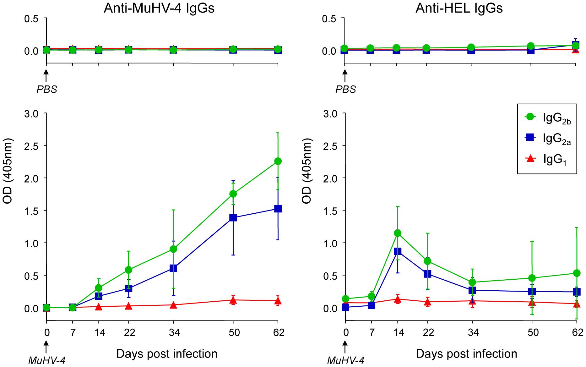 SW<sub>HEL</sub> mice mount a long-lasting anti-MuHV-4 antibody response.