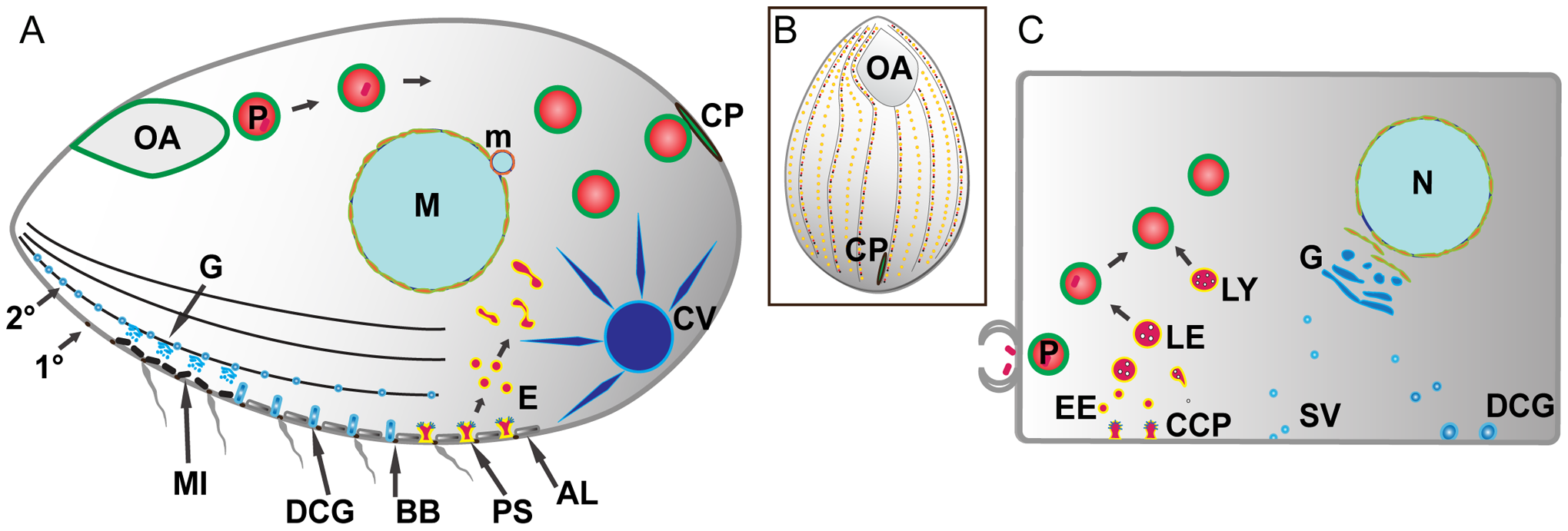 Pathways of membrane traffic in <i>Tetrahymena</i> and in animal cells.