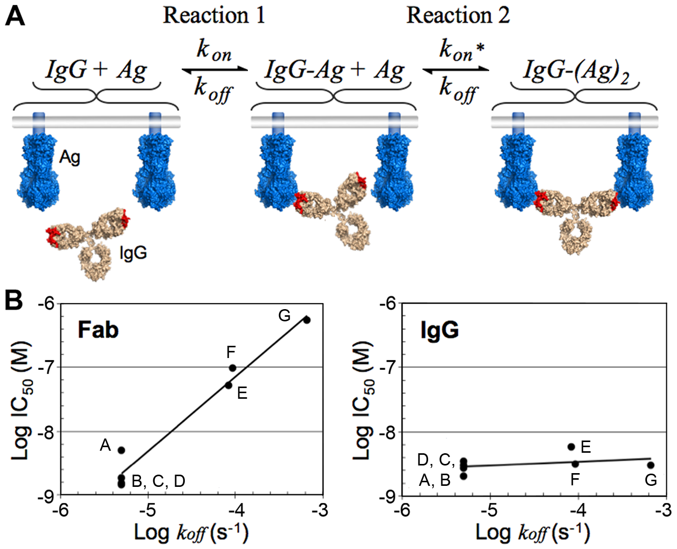 Bivalent binding model and effect of dissociation rate on neutralization in bivalent and monovalent binding.