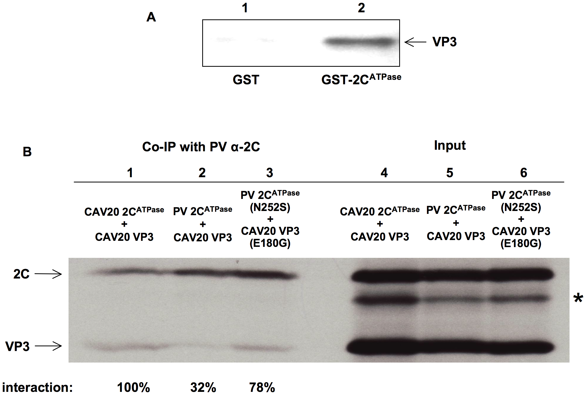Direct interaction between VP3 and 2C<sup>ATPase</sup> demonstrated by biochemical assays.