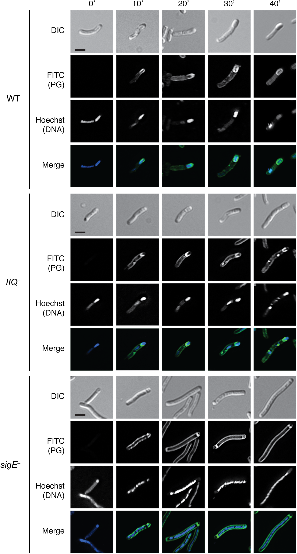 Metabolic labeling of peptidoglycan transformations in WT, <i>spoIIQ</i><sup><i>–</i></sup>, and <i>sigE</i><sup><i>−</i></sup>strains during sporulation.
