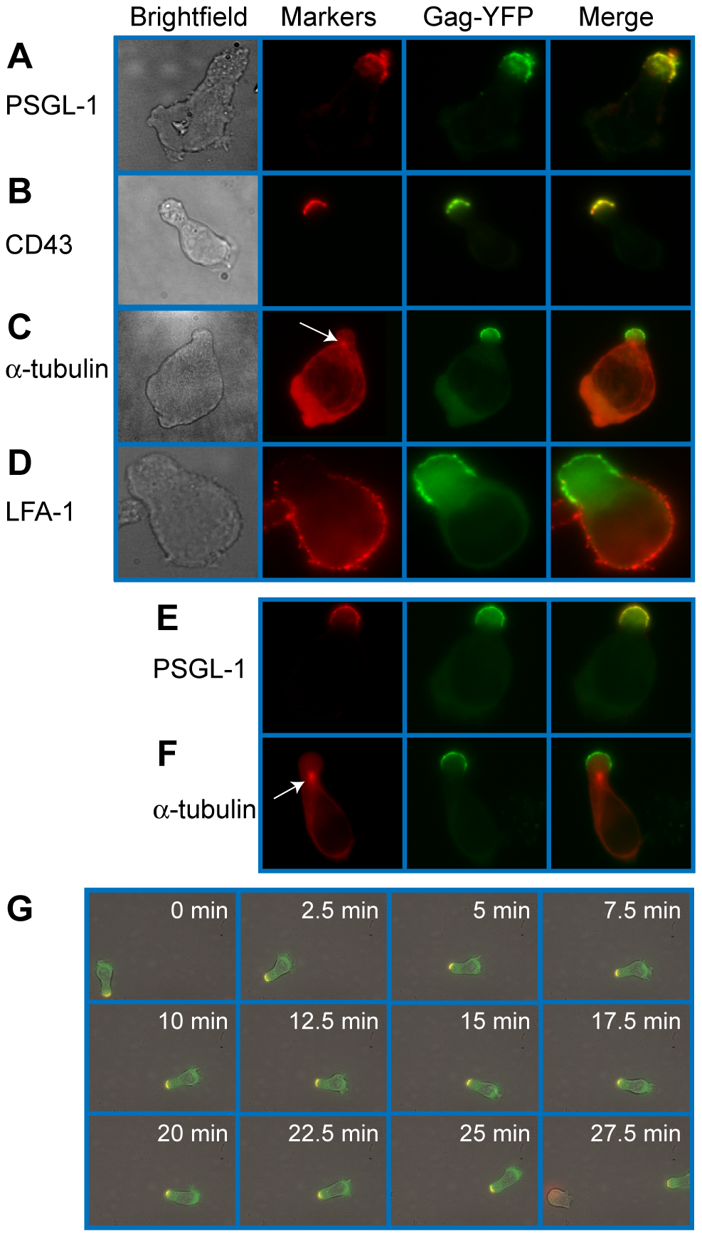 Gag stably localizes to the uropod in polarized T cells.
