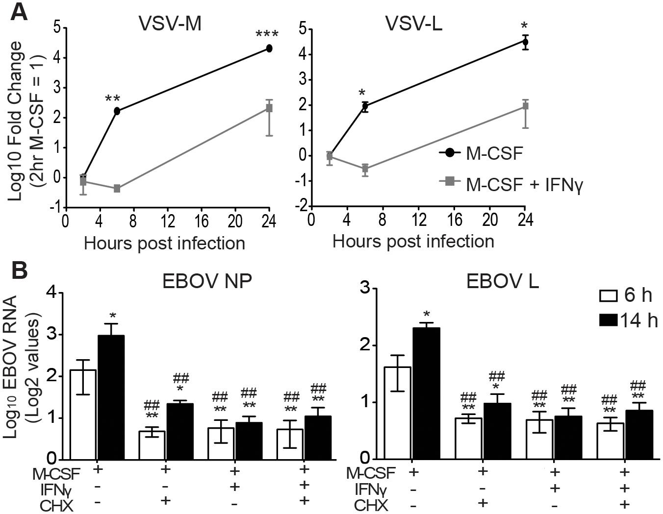 IFNγ blocks EBOV GP/rVSV and EBOV RNA synthesis.