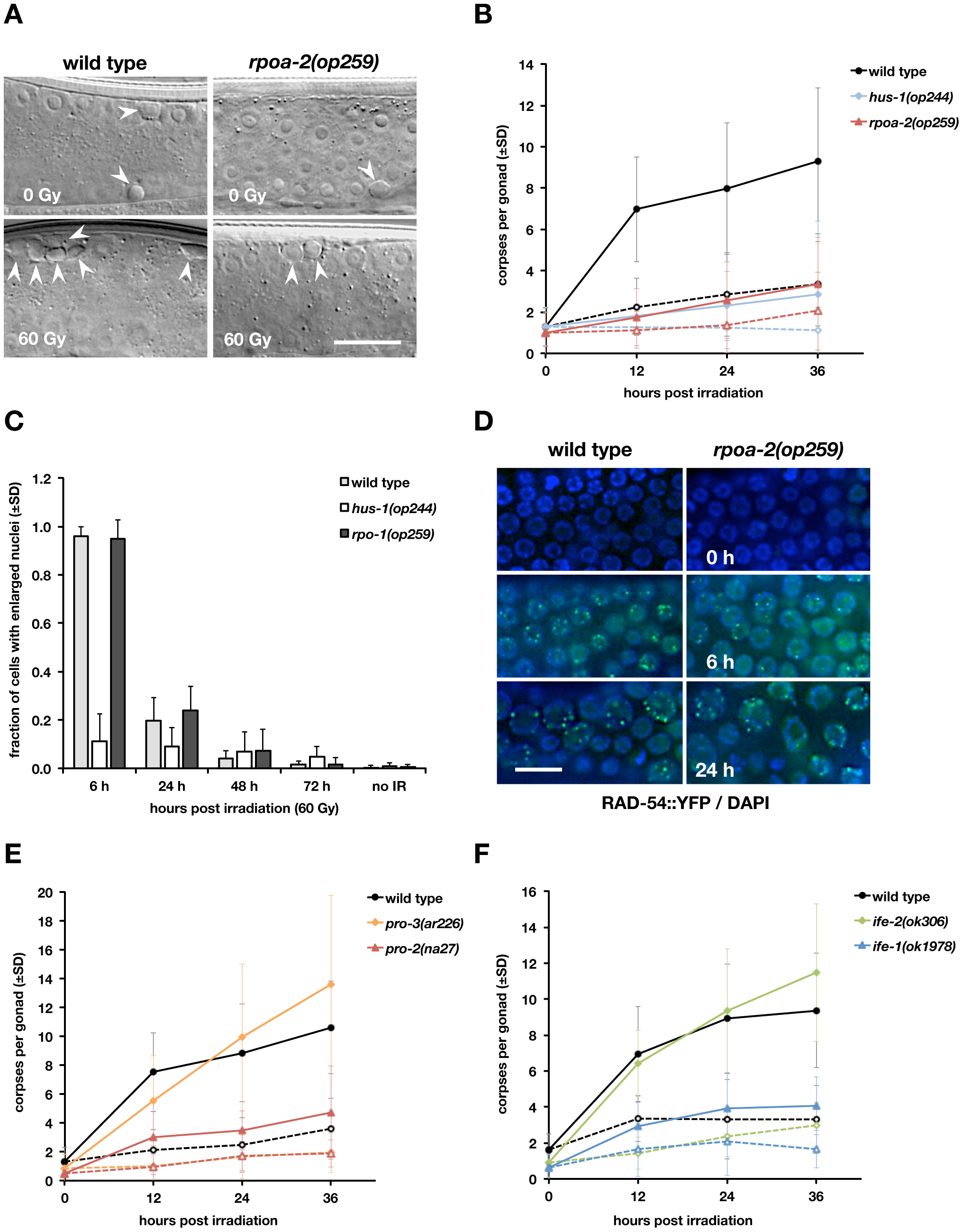 The <i>rpoa-2(op259)</i> mutation reduces irradiation-induced germ cell apoptosis but not cell cycle arrest response or DNA damage repair.