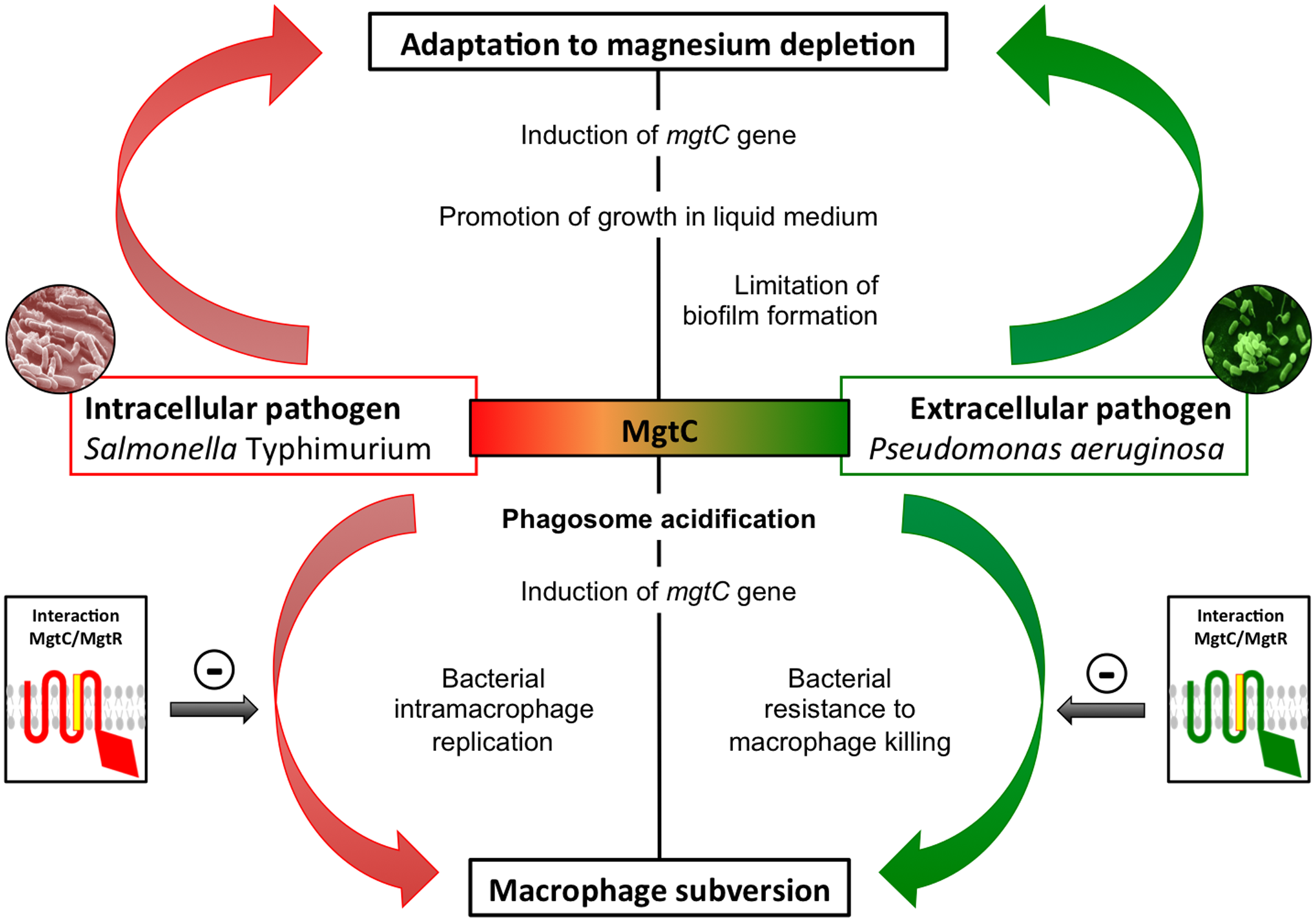 Role of MgtC in intracellular and extracellular pathogens.