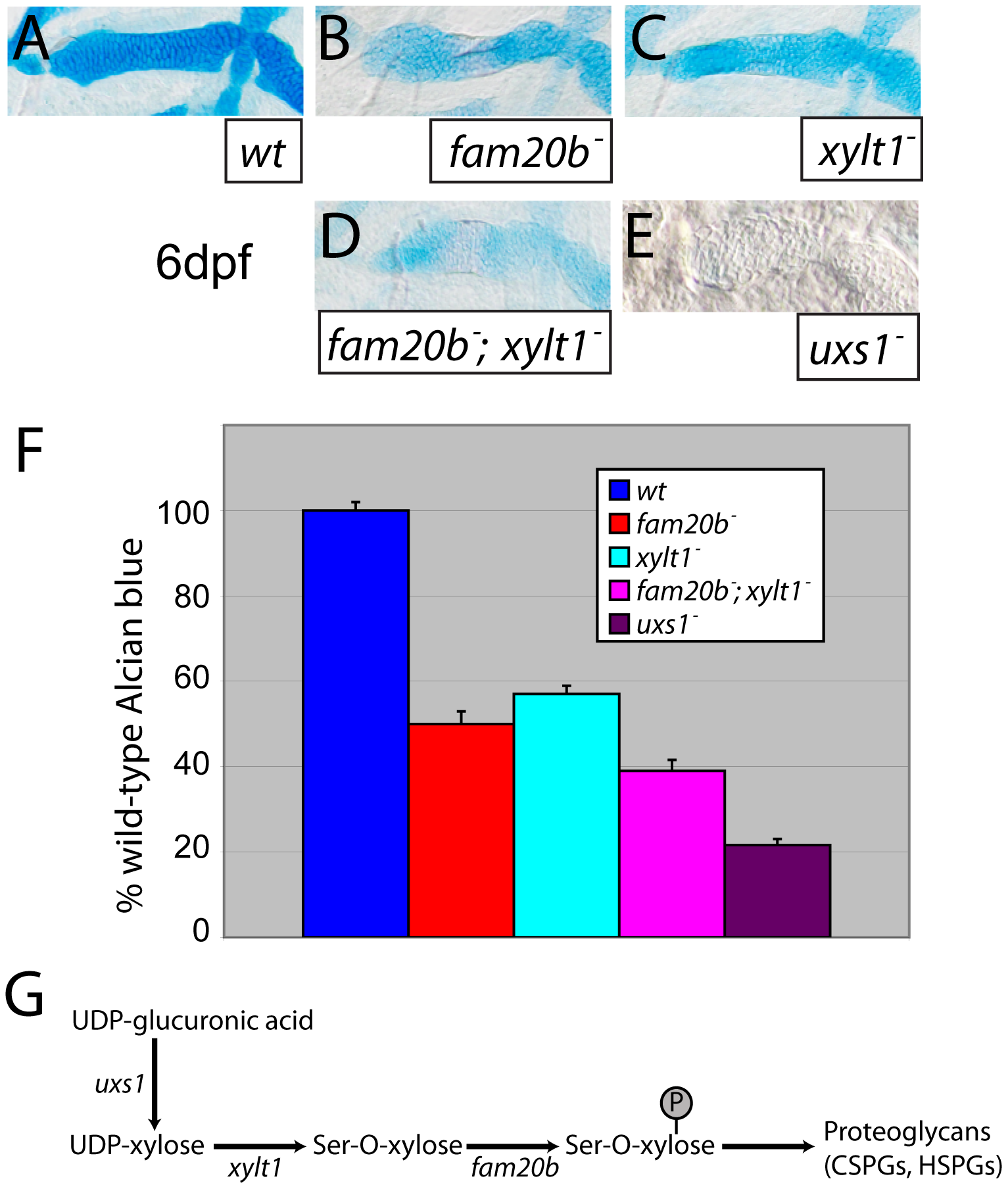 Reduction of Alcian blue staining in <i>fam20b</i> and <i>xylt1</i> mutants is less severe than in <i>uxs1</i> mutants.