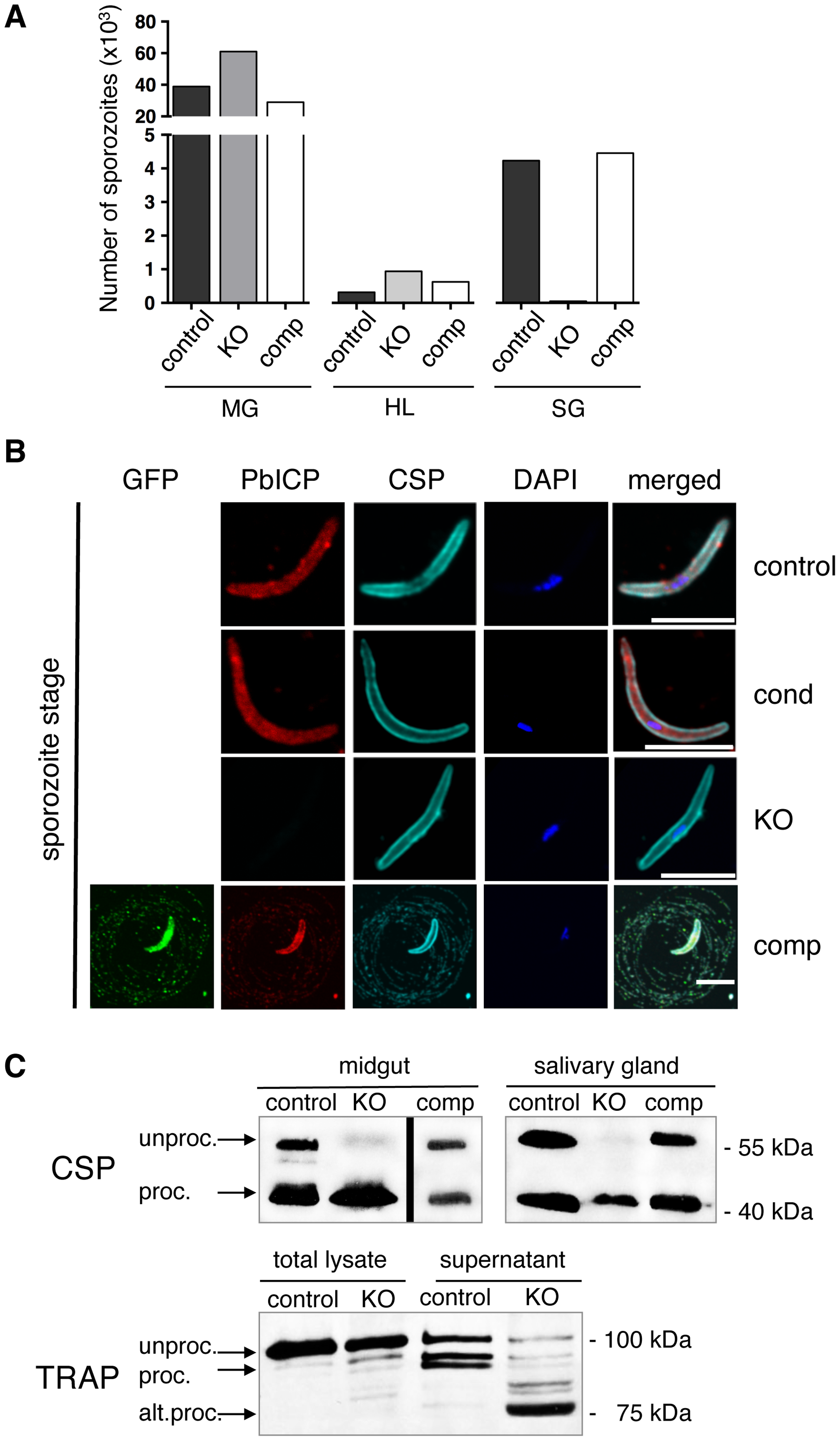 PbICP is essential for mosquito stage development and regulates CSP and TRAP processing by midgut and salivary gland sporozoites.