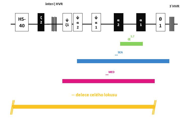 Struktura HBA lokusu na chromozomu 16 s označením jednotlivých delecí (deletovaných oblastí) zjištěných v našem souboru dětských pacientů s α-talasémií. Fig. 2. Structure of HBA locus on chromosome 16 with marked deletions (deleted regions) detected in our group of pediatric patients with α-thalassemia.