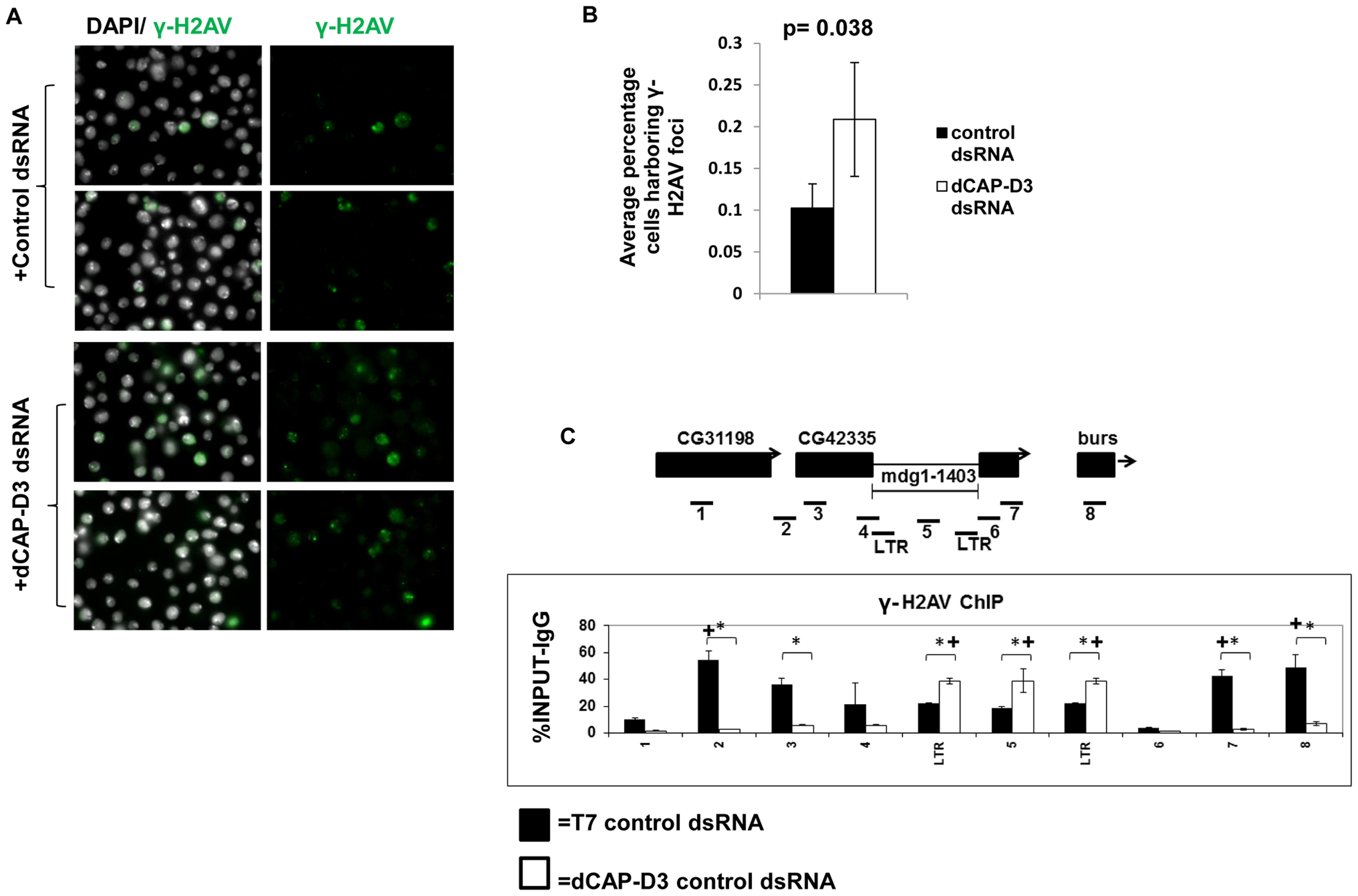 Decreased dCAP-D3 expression results in double strand break accumulation within retrotransposon sequence.