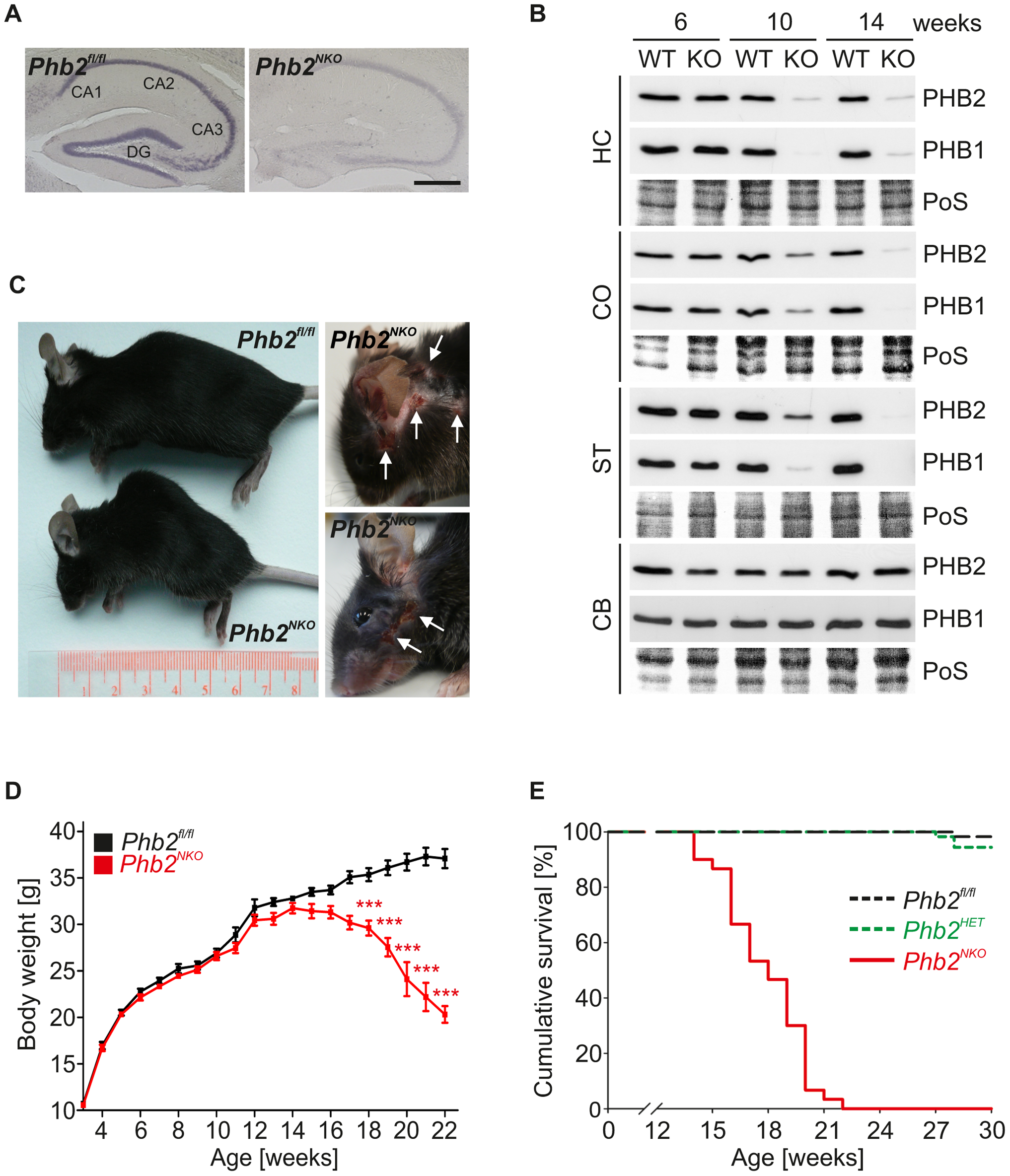 <i>CaMKIIa-Cre</i>-mediated inactivation of the mouse <i>Phb2</i> gene in forebrain neurons.