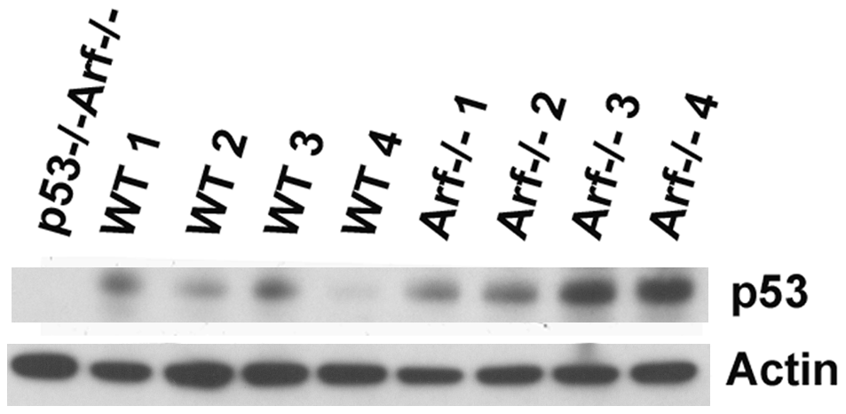 Levels of p53 detected in wild-type and <i>Arf</i>-null testis.