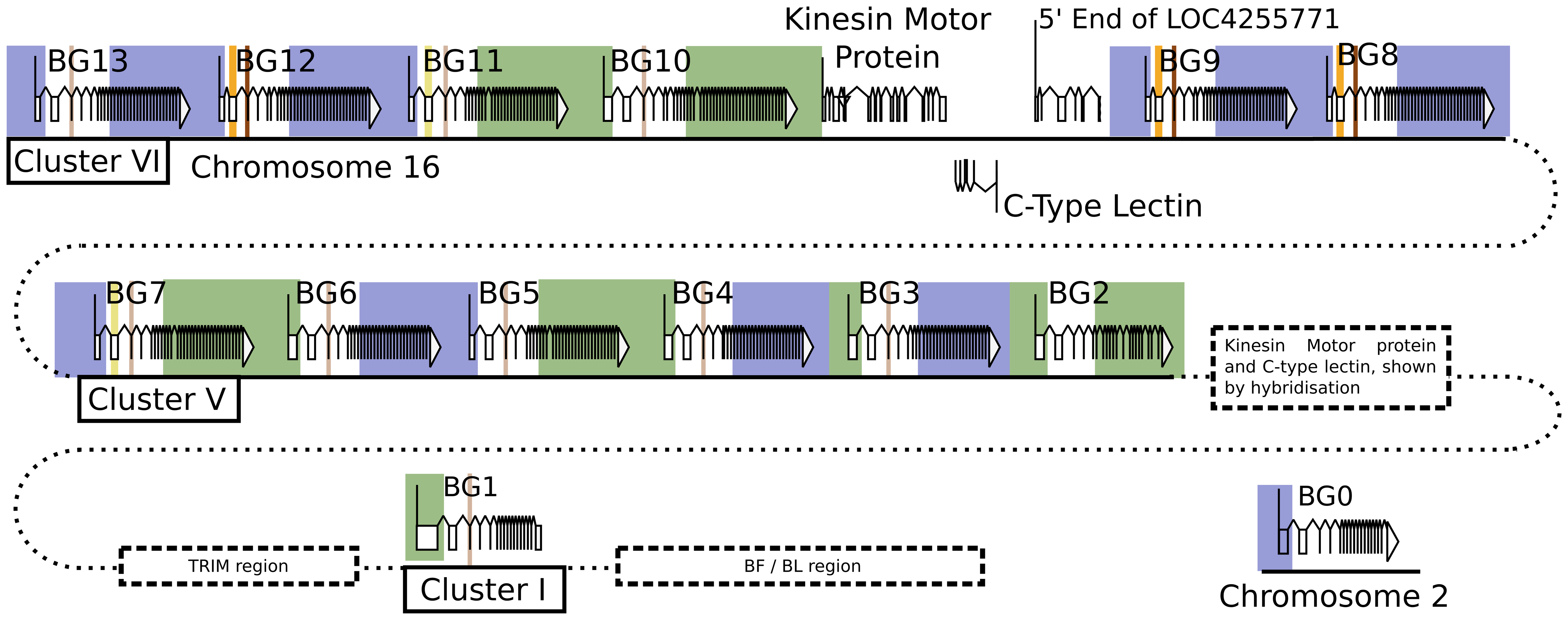 The presence of hybrid BG genes in the B12 haplotype shows no obvious pattern, consistent with a random process of recombination in the centre of the genes.