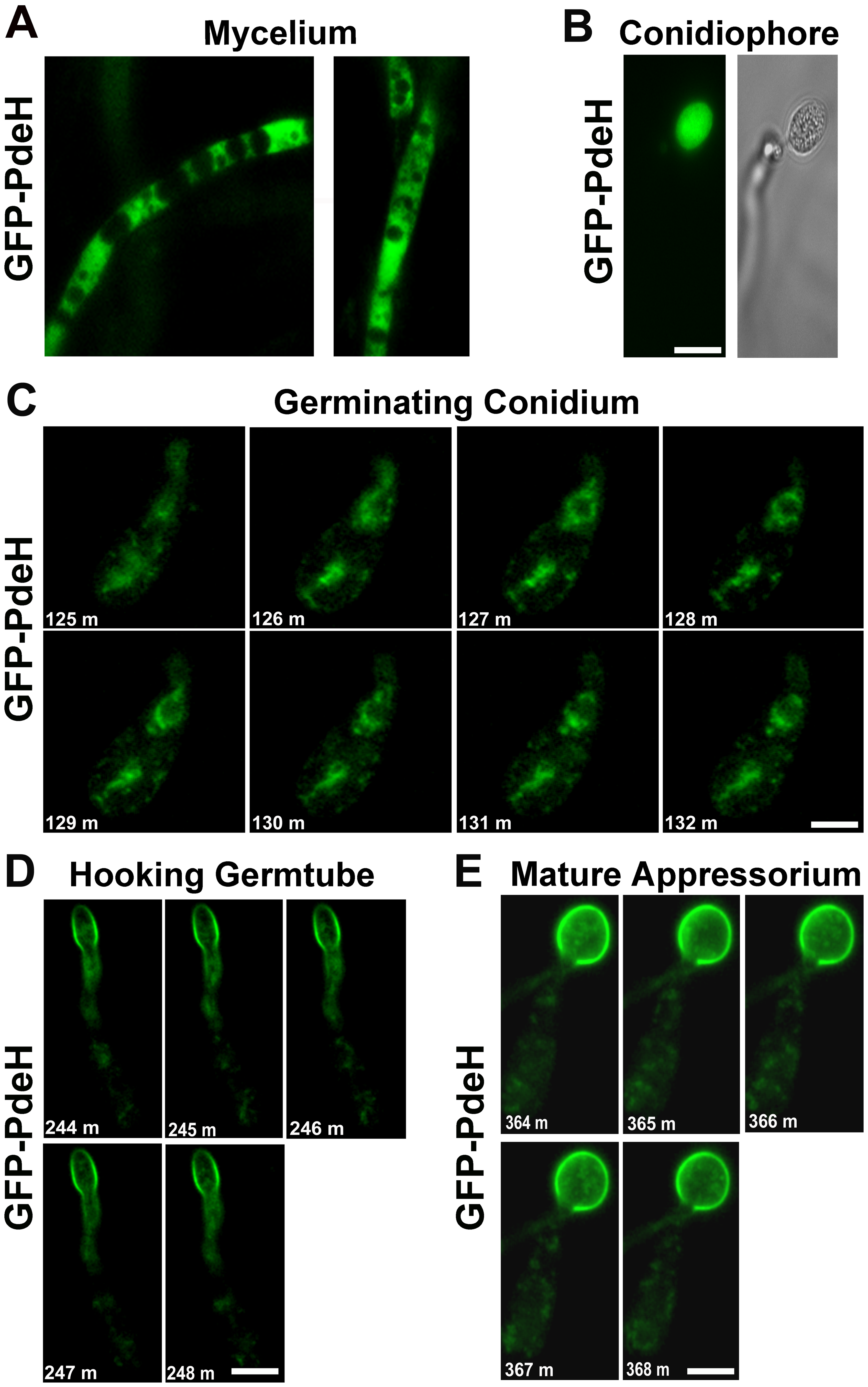 Localization and dynamic nature of the PRO<i><sub>Mpg1</sub></i>-GFP-PdeH during various stages of development in <i>M. oryzae</i>.