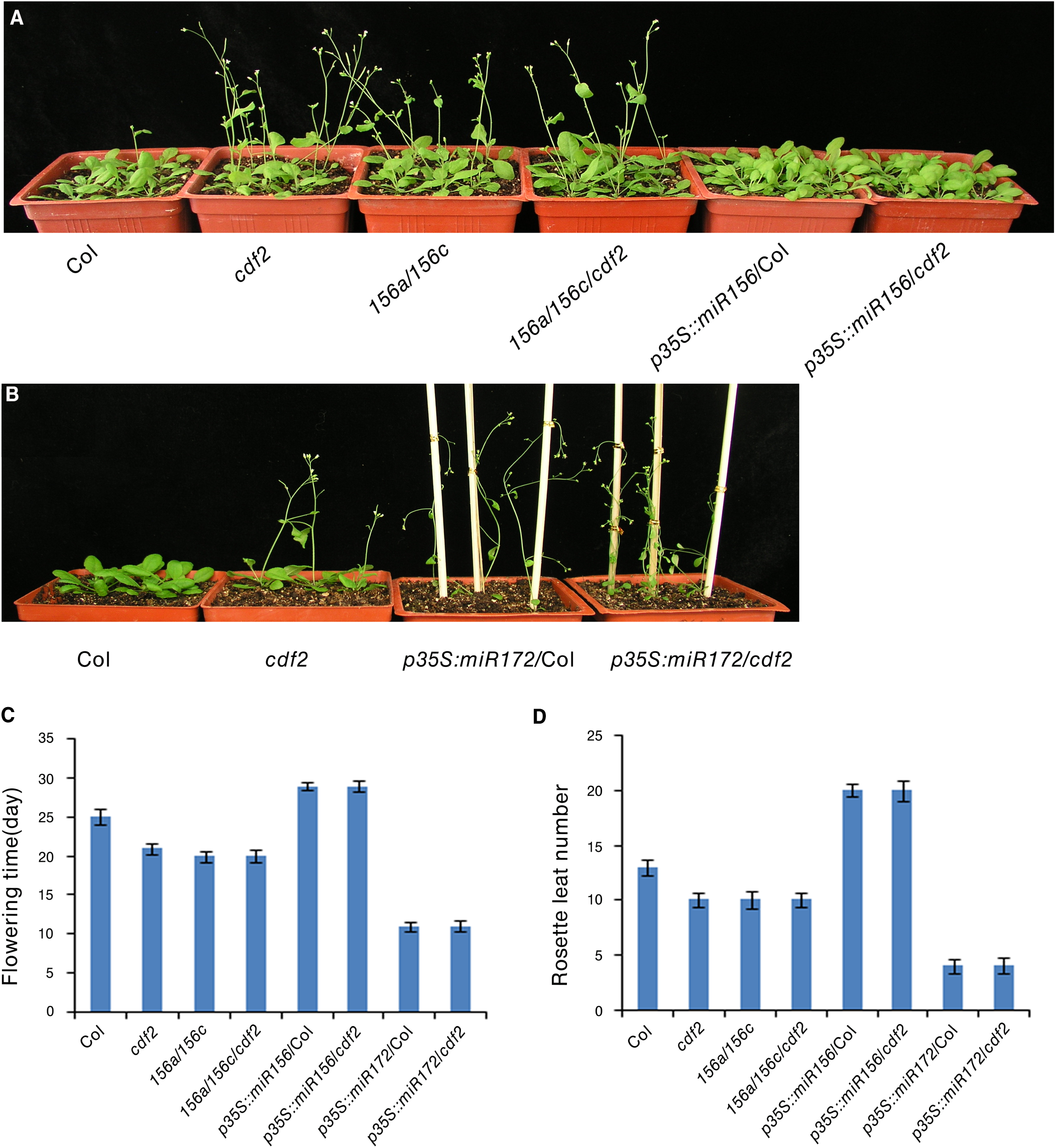 CDF2 is in the same pathway as miR156 and miR172 to regulate flowering.