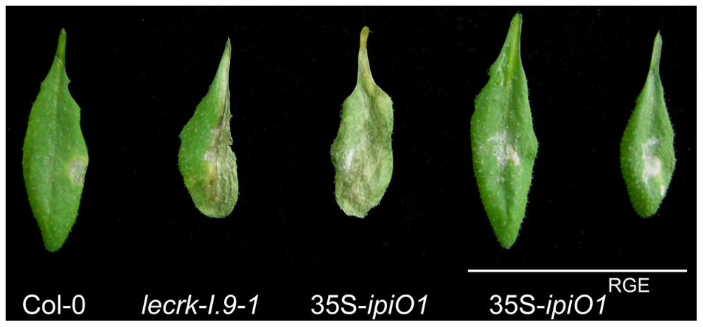 The RGD motif in IPI-O is a determinant of the phenotypic changes.
