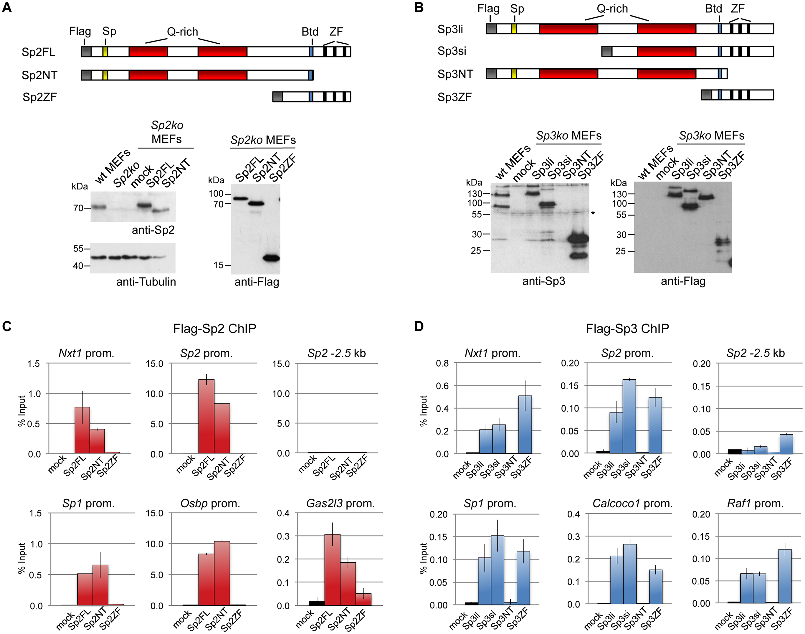 Different domains mediate recruitment of Sp2 and Sp3 to promoters <i>in vivo</i>.
