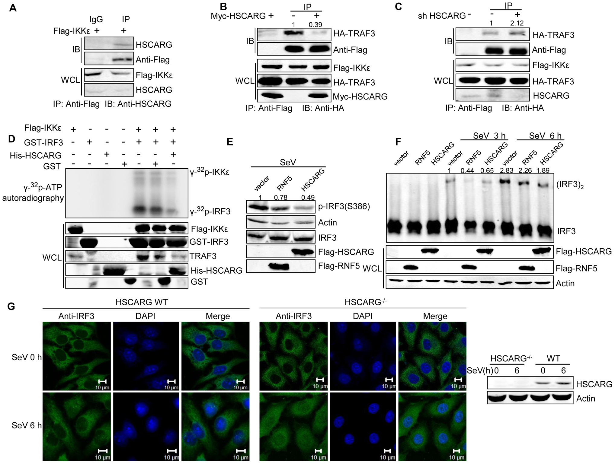 HSCARG interacts with IKKε and blocks the formation of TRAF3-IKKε complex.