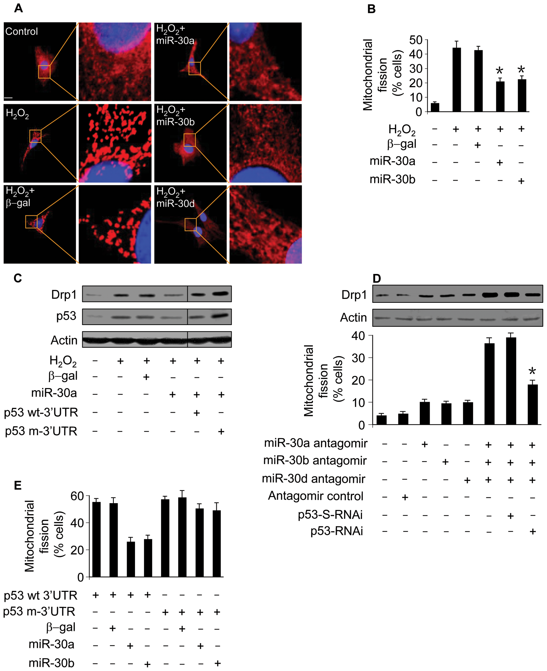 miR-30 family members regulate mitochondrial fission through p53.