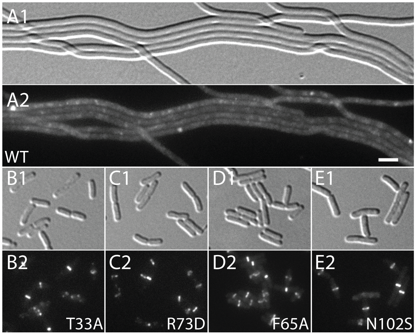 Effect of SlmA variants on Z-ring formation in the presence of multi-copy SBS.