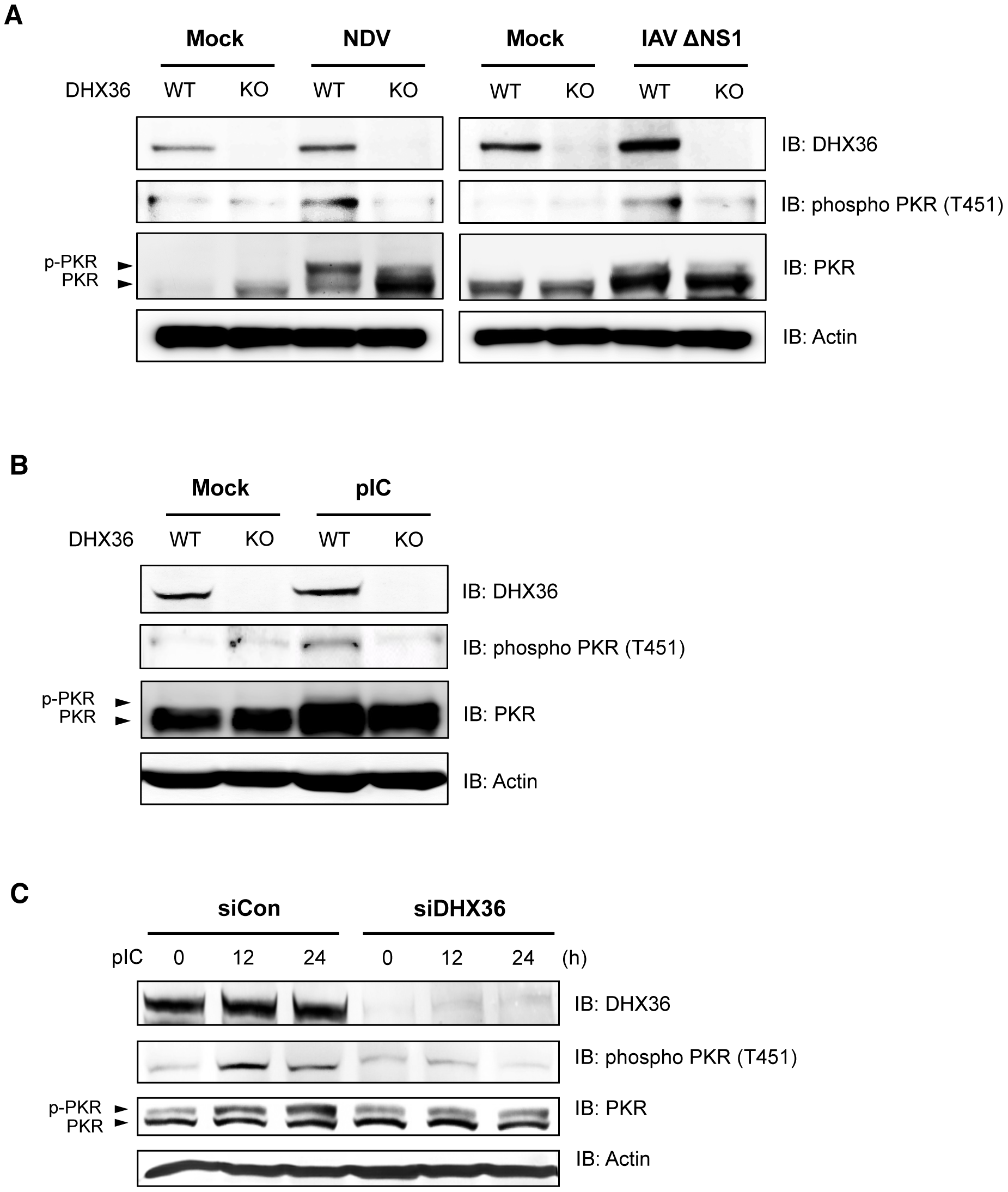 DHX36 is required for virus-induced PKR phosphorylation.