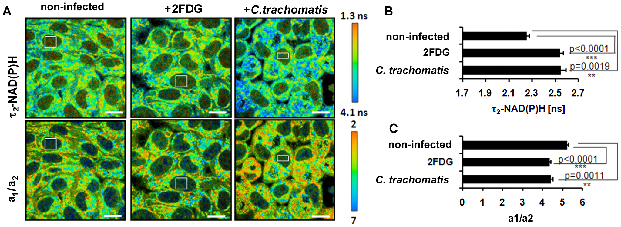Cellular starvation in <i>C. trachomatis</i>-infected cells.