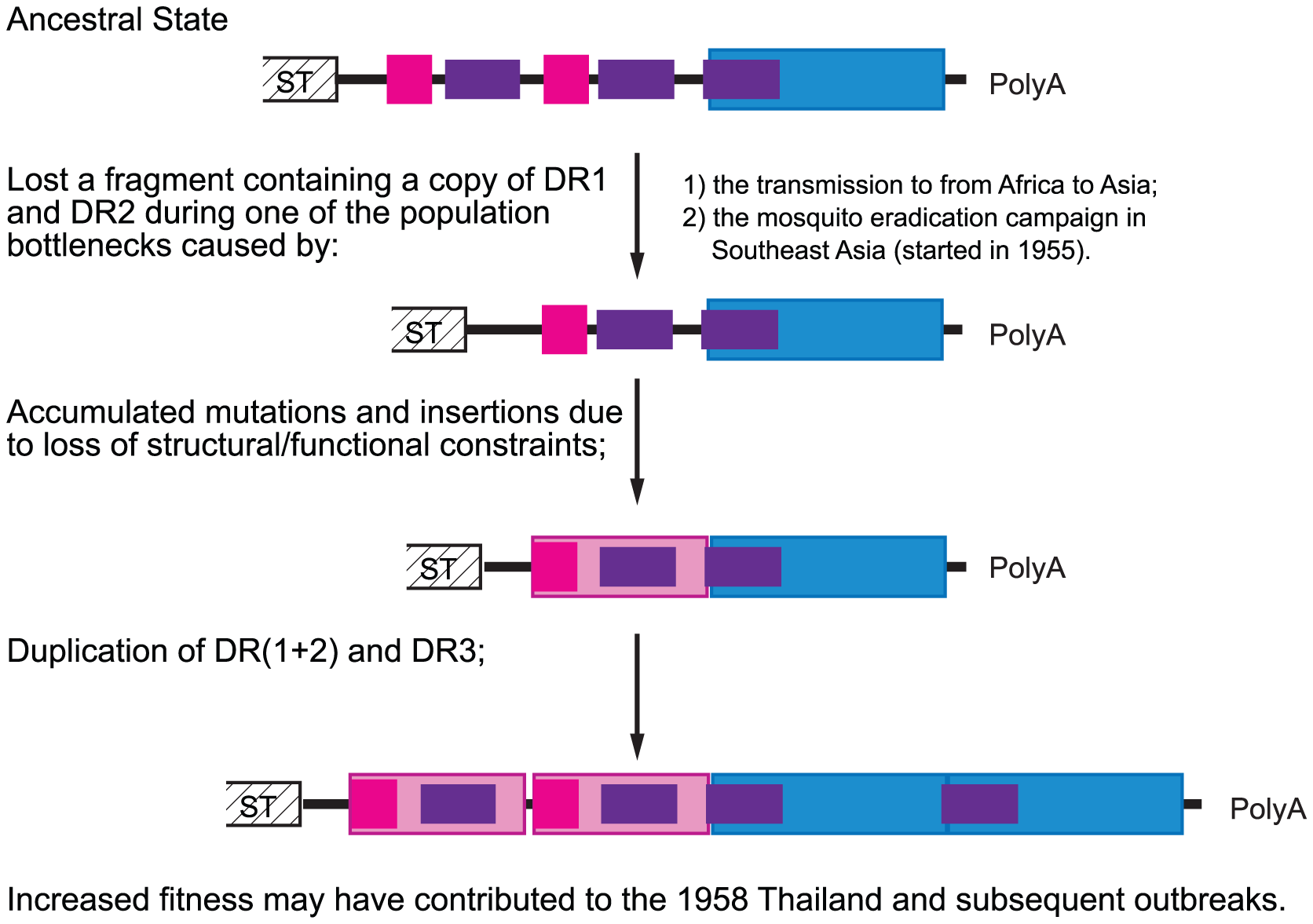 Hypothetical evolutionary pathway of CHIKV Asian lineage 3′UTR.