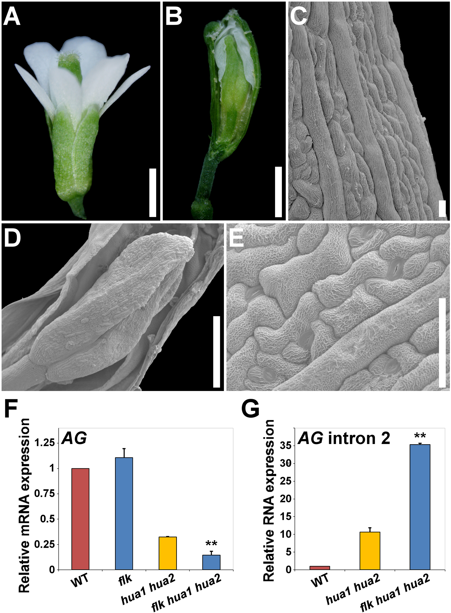 Loss of <i>FLK</i> dramatically enhances the floral phenotypes of <i>hua1 hua2</i> plants.