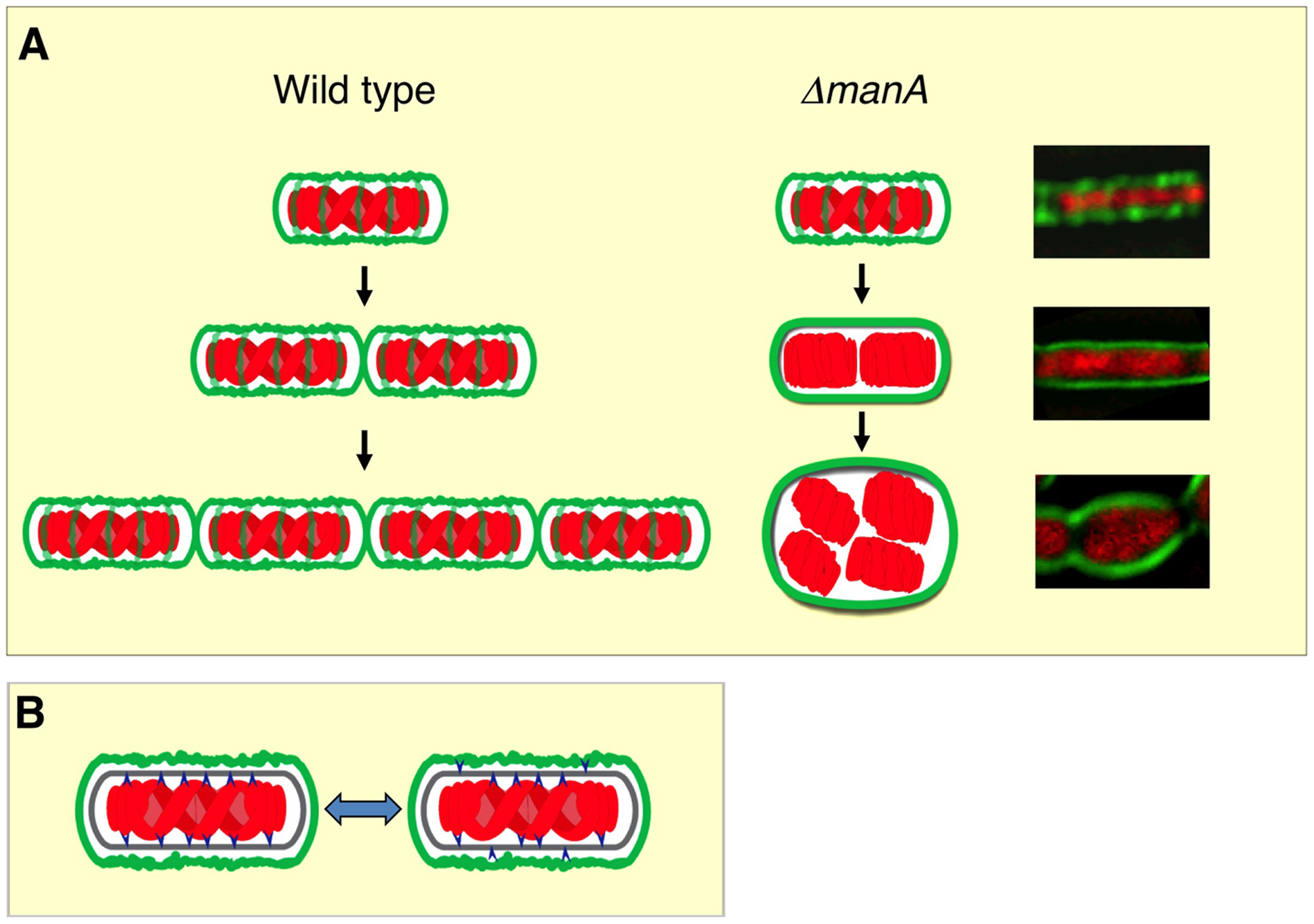 Linking cell wall integrity and chromosome morphology.